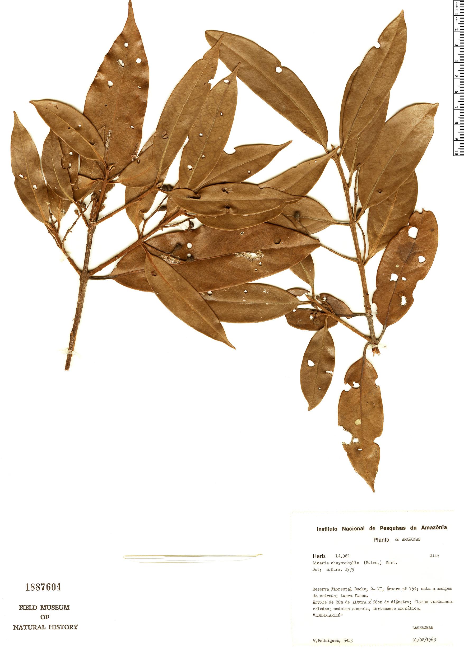 Specimen: Licaria chrysophylla