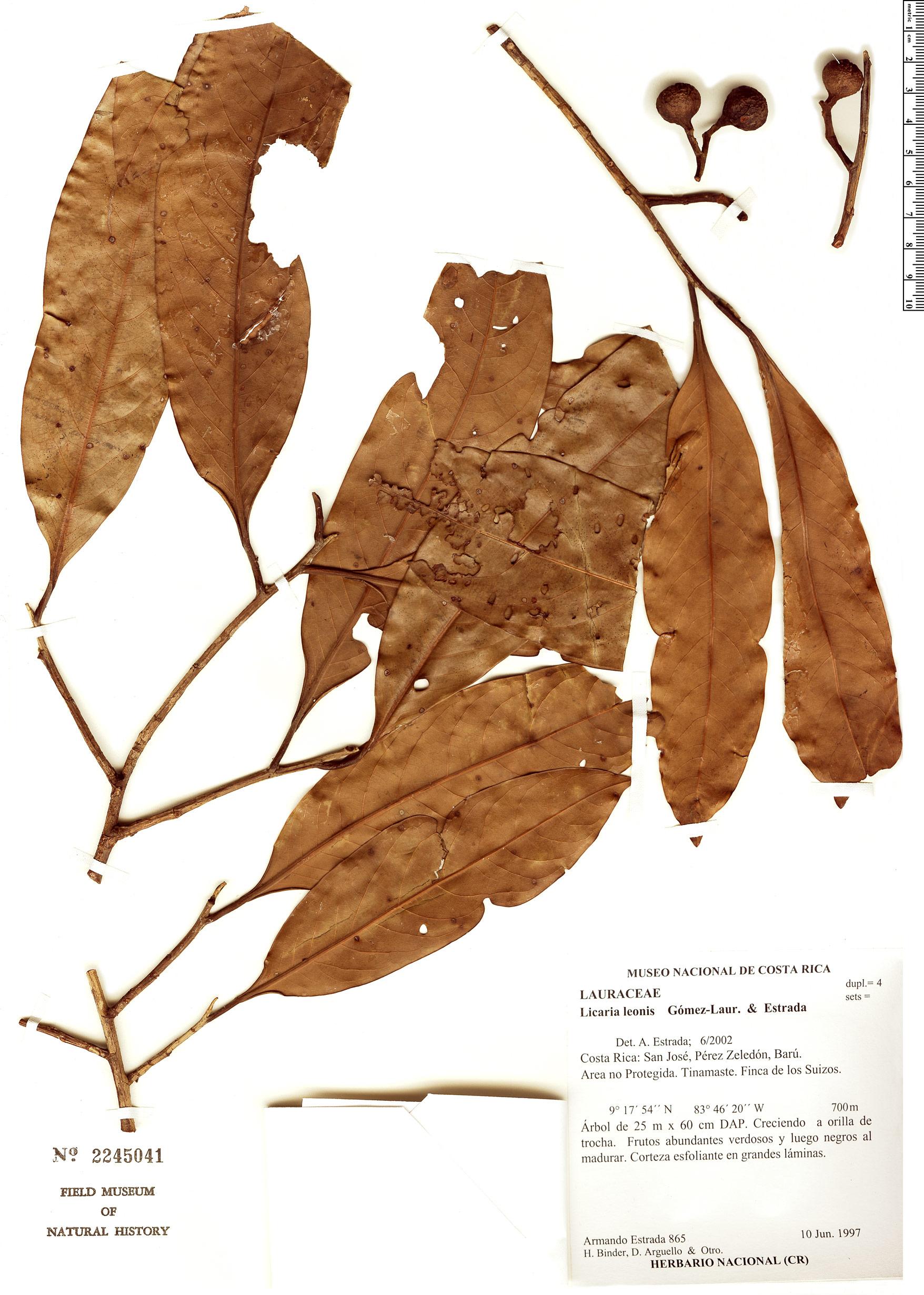 Specimen: Licaria leonis