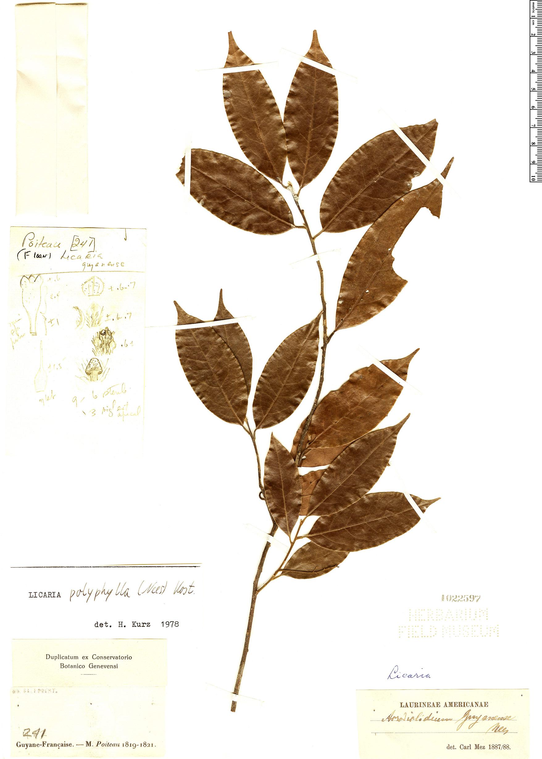 Specimen: Licaria polyphylla