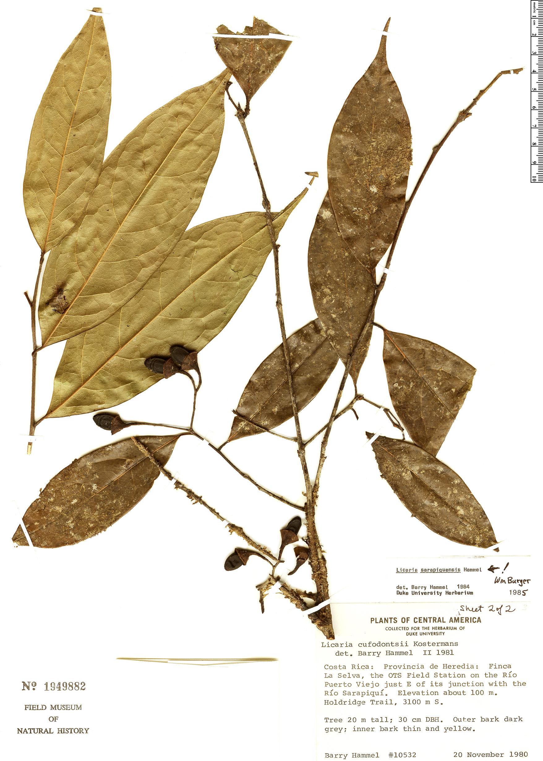 Specimen: Licaria sarapiquensis