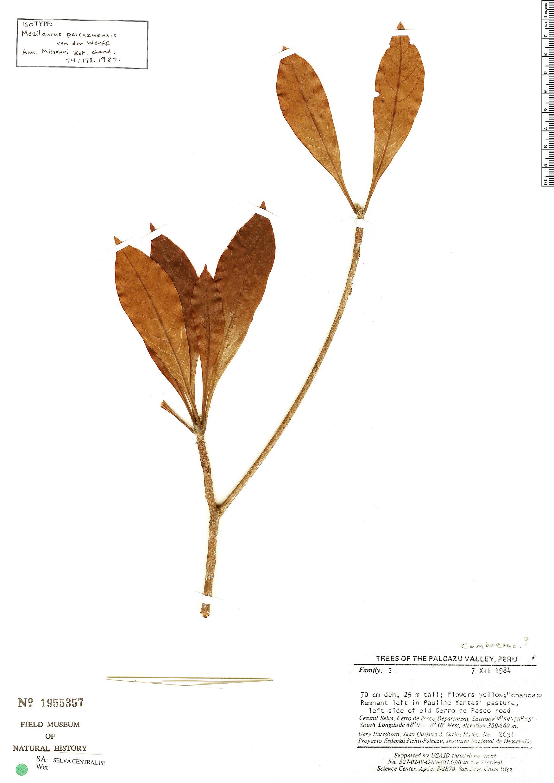 Specimen: Mezilaurus palcazuensis