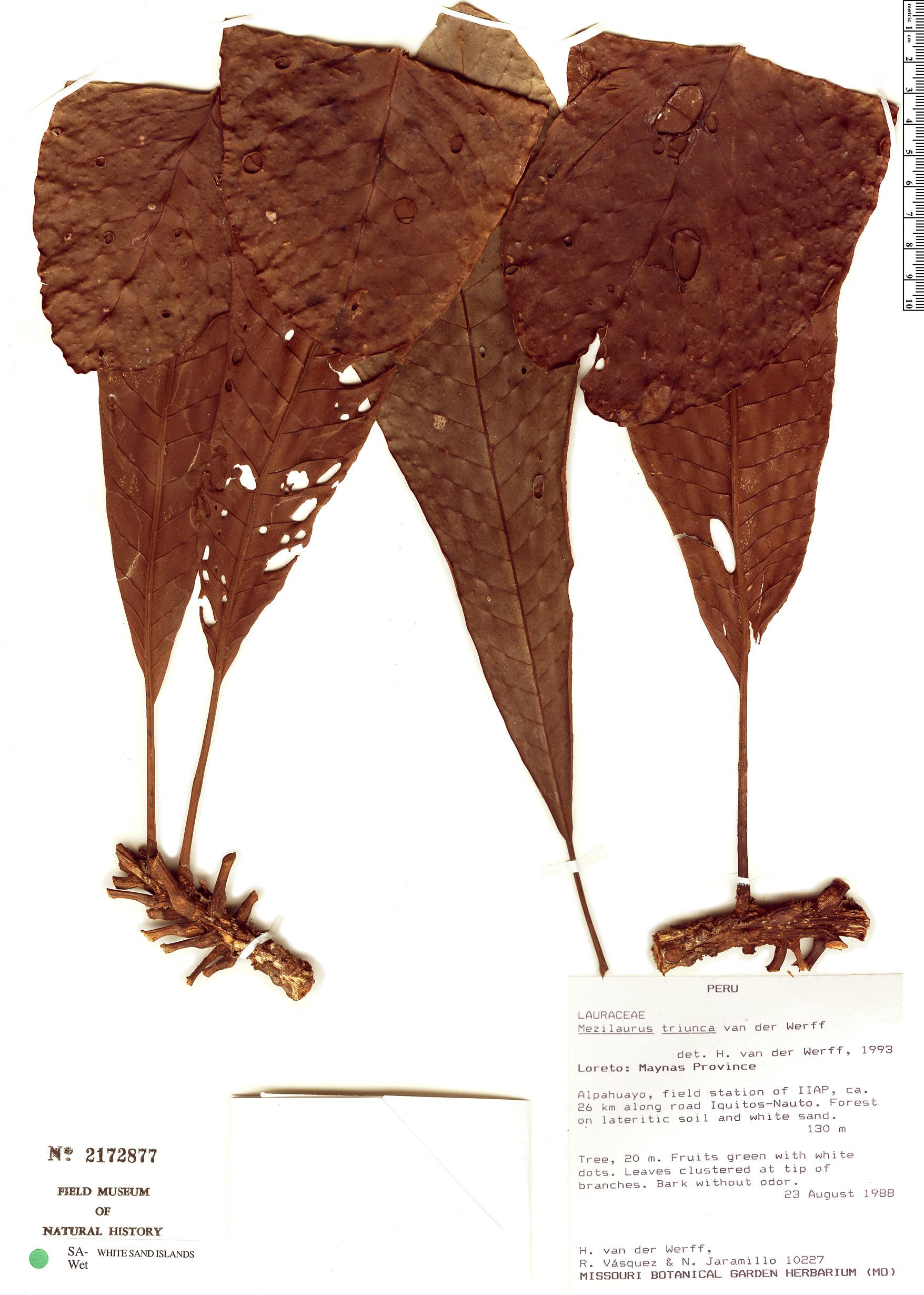 Specimen: Mezilaurus triunca