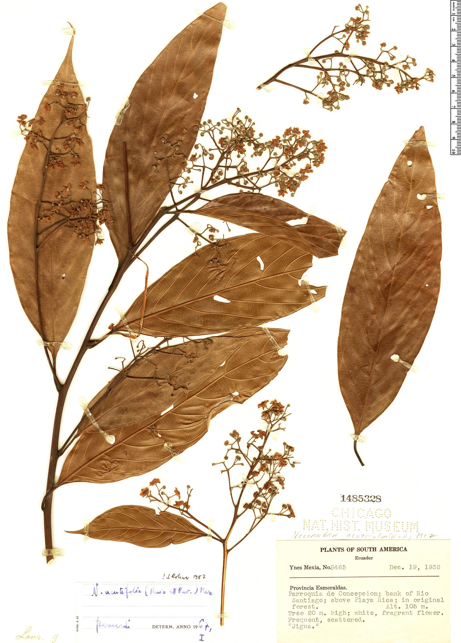 Specimen: Nectandra acutifolia