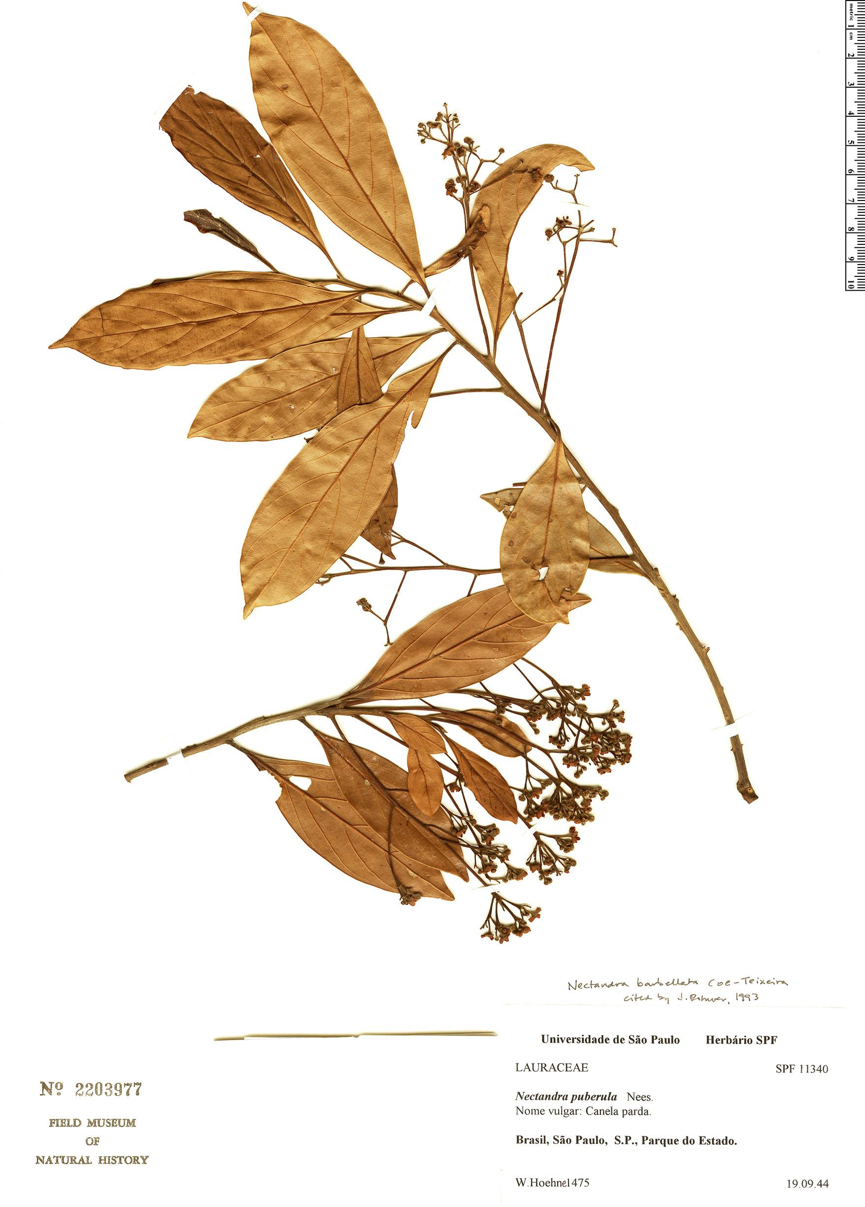 Espécimen: Nectandra barbellata