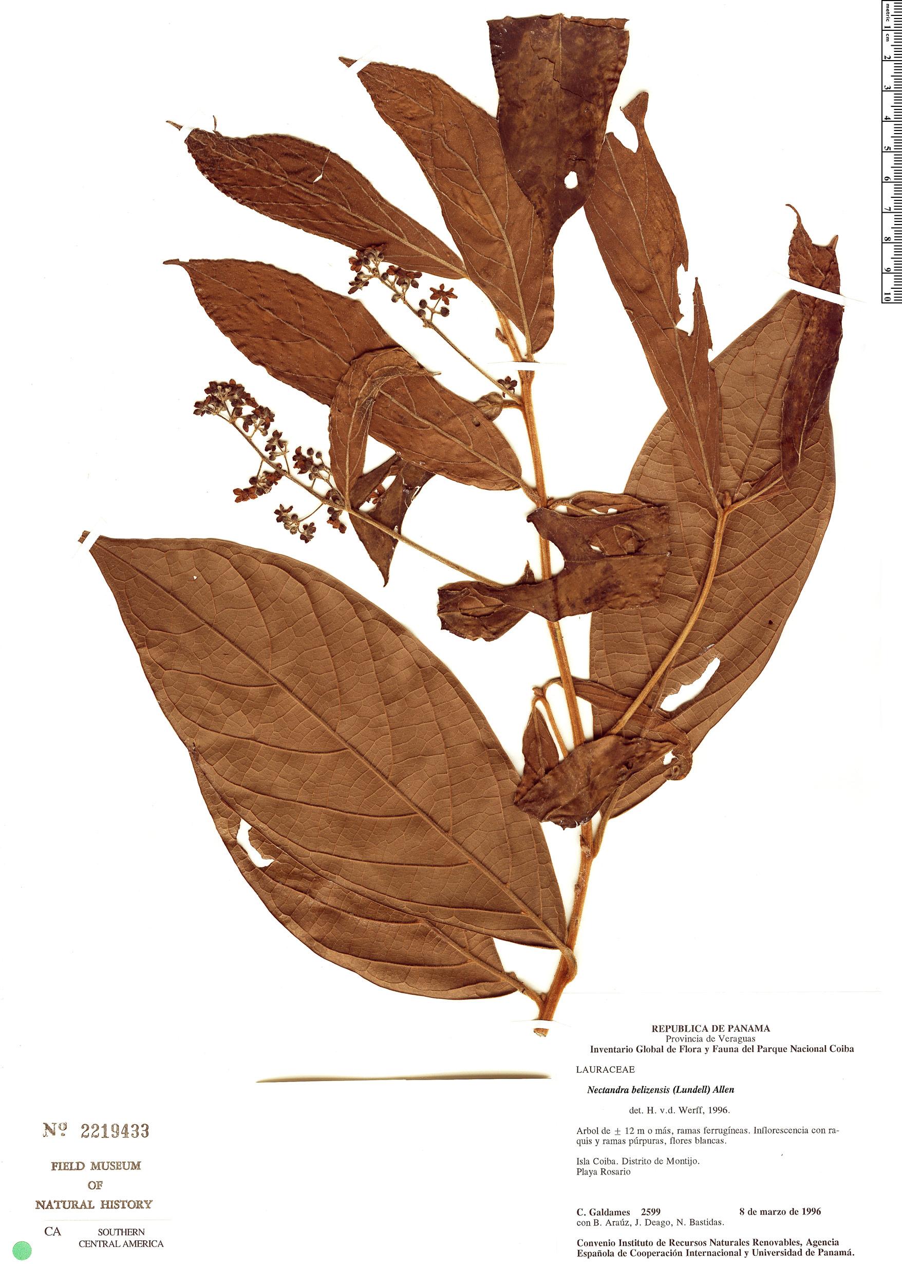 Nectandra belizensis image