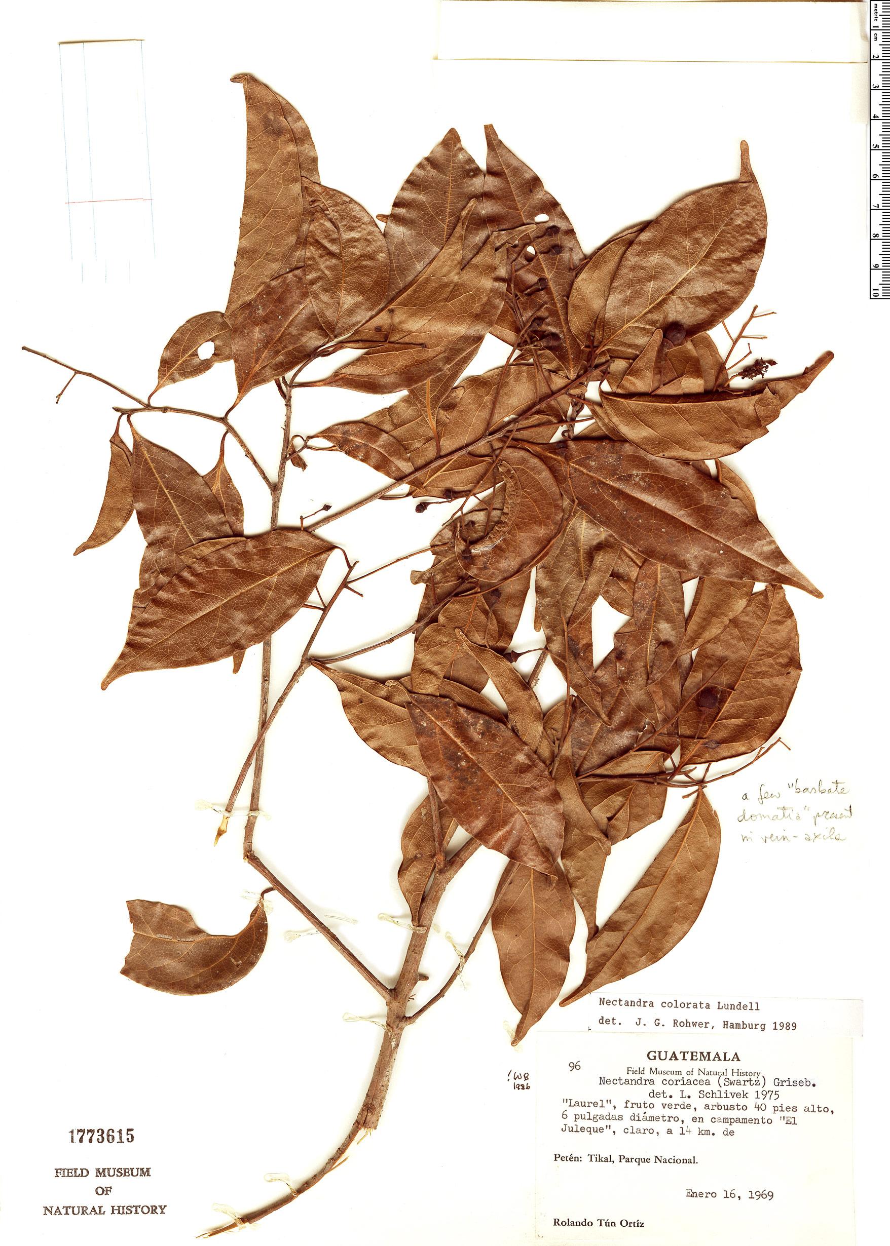 Specimen: Nectandra colorata