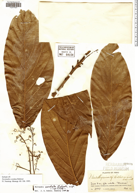 Specimen: Nectandra cordata