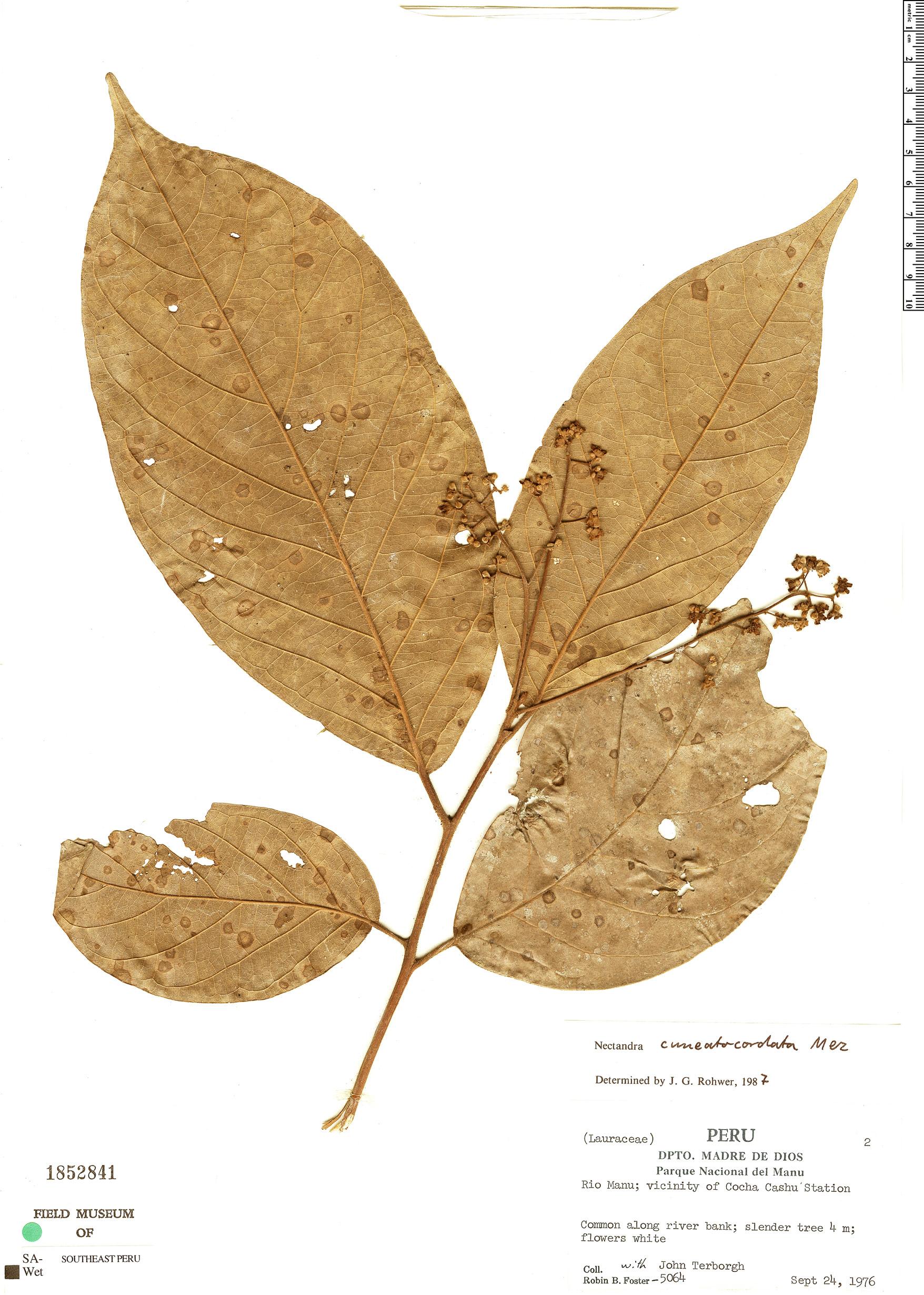 Espécimen: Nectandra cuneatocordata