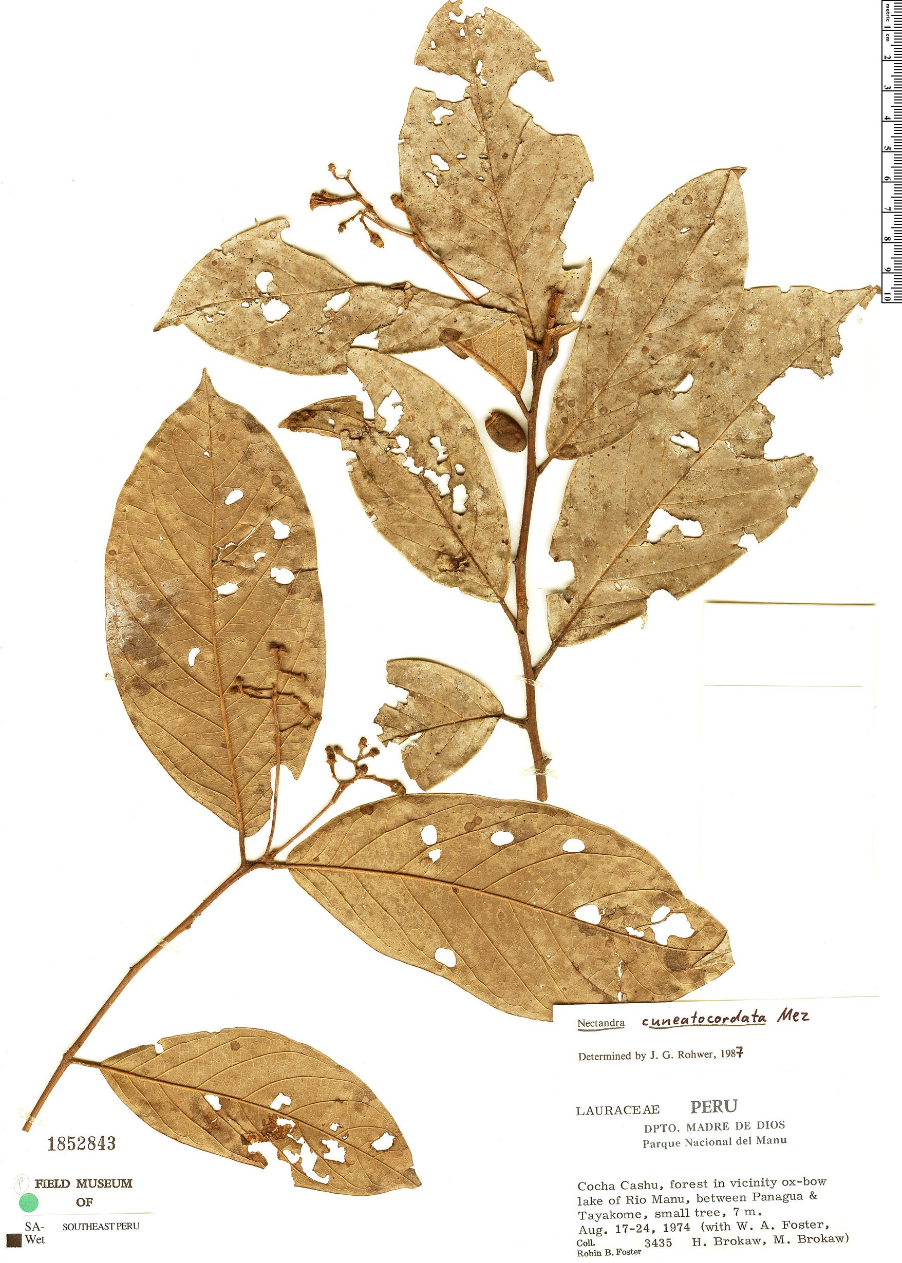 Specimen: Nectandra cuneatocordata