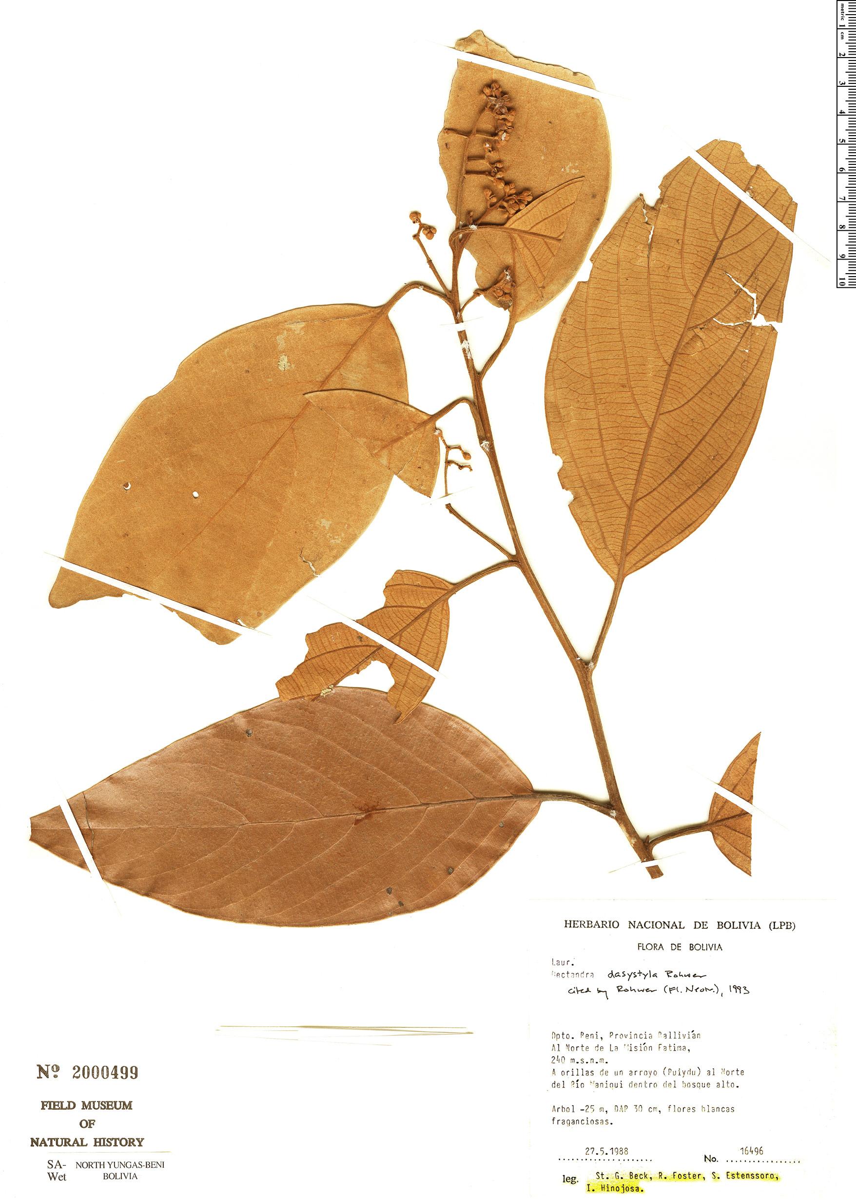 Specimen: Nectandra dasystyla
