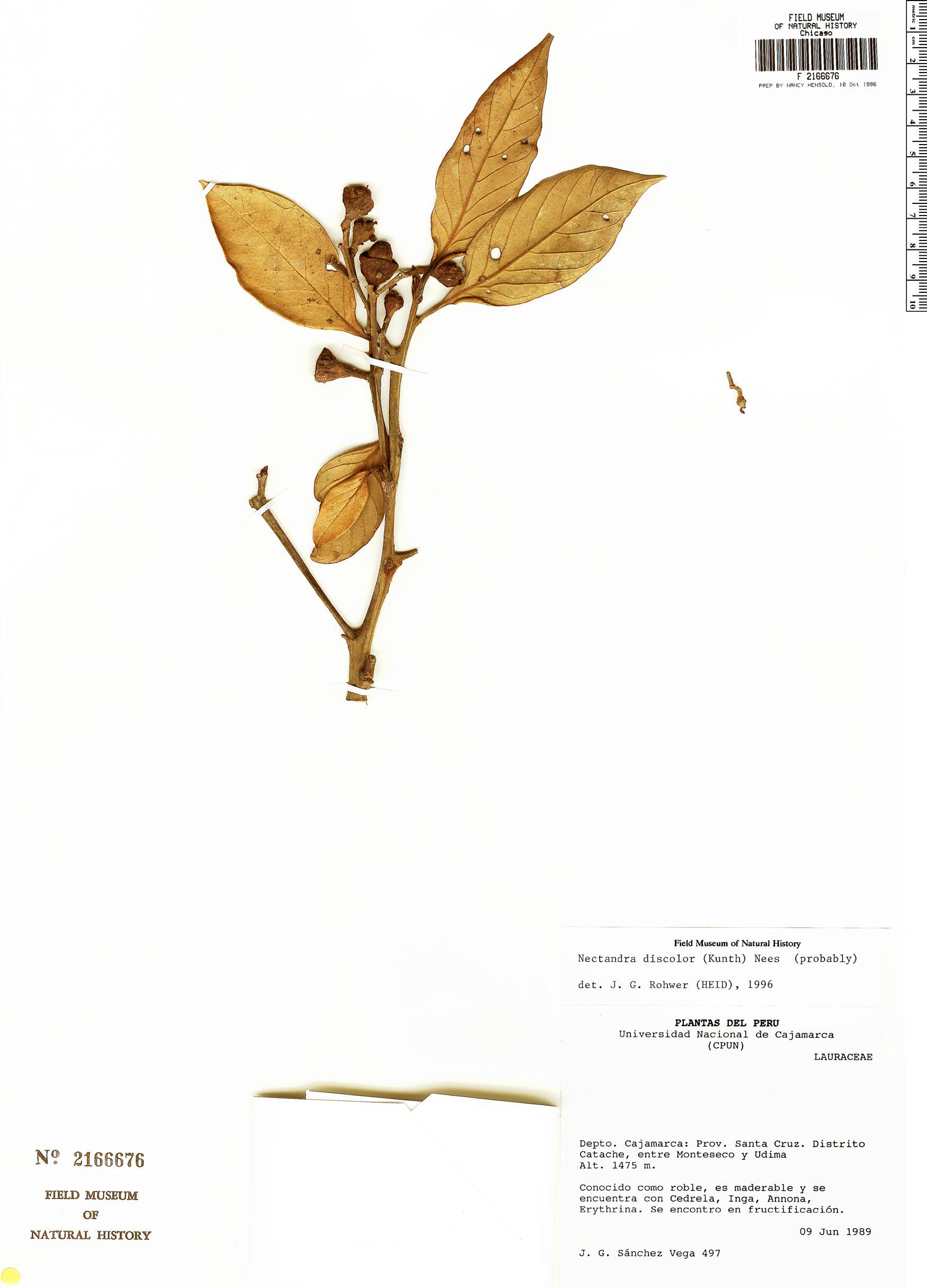 Espécimen: Nectandra discolor