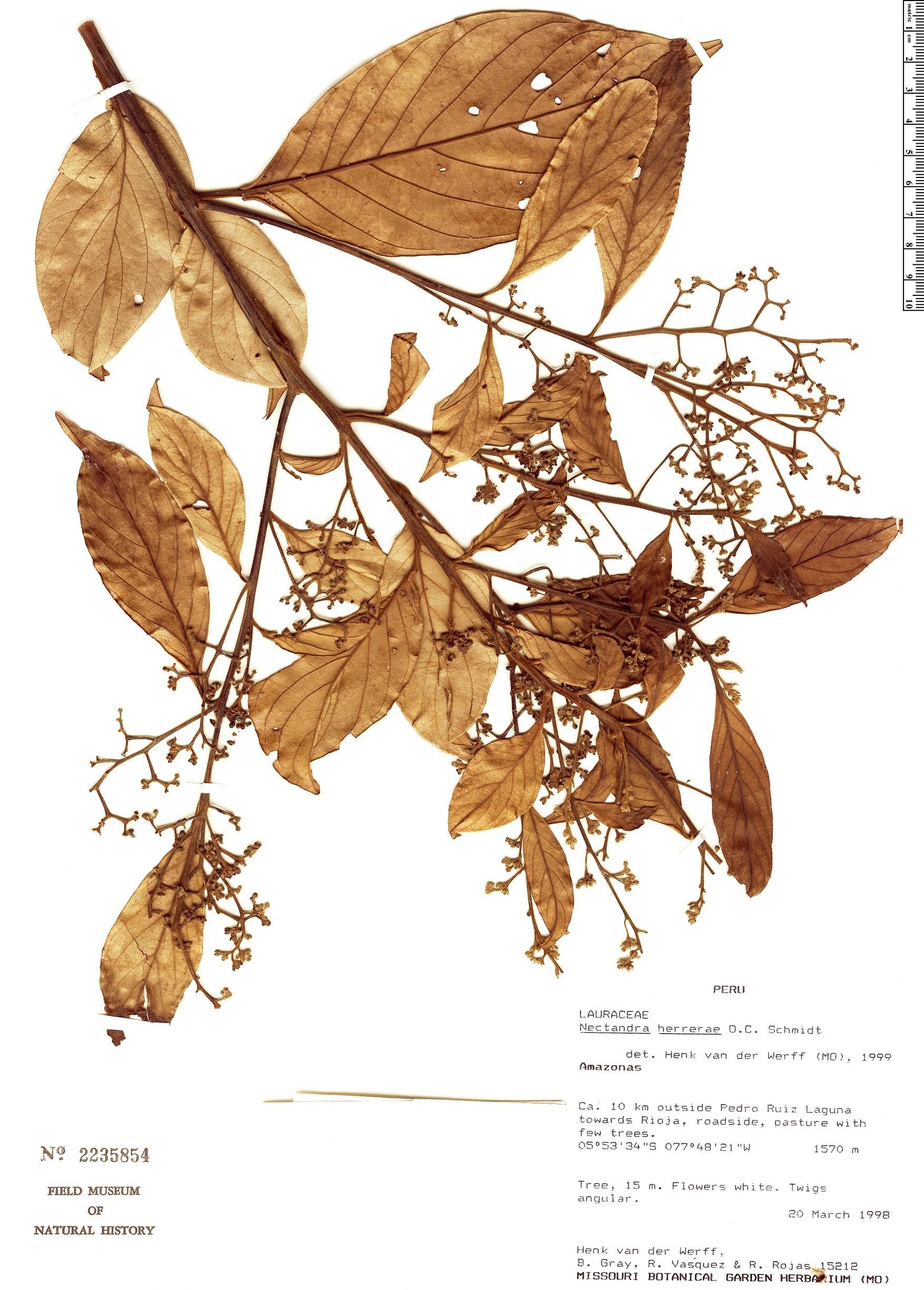 Specimen: Nectandra herrerae