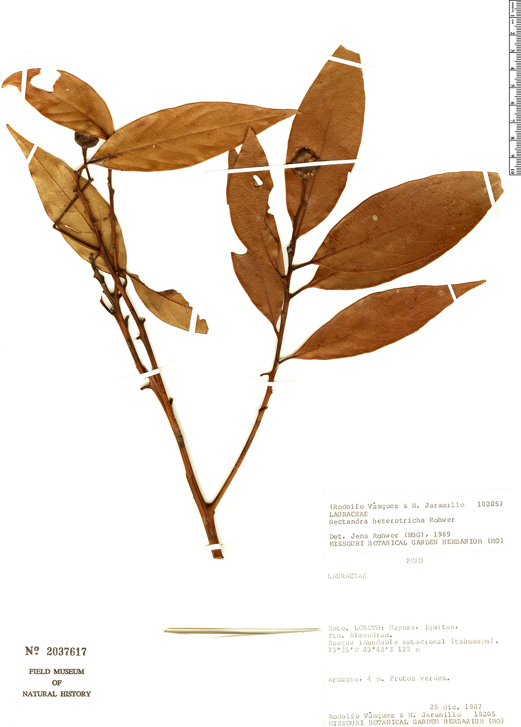 Specimen: Nectandra heterotricha