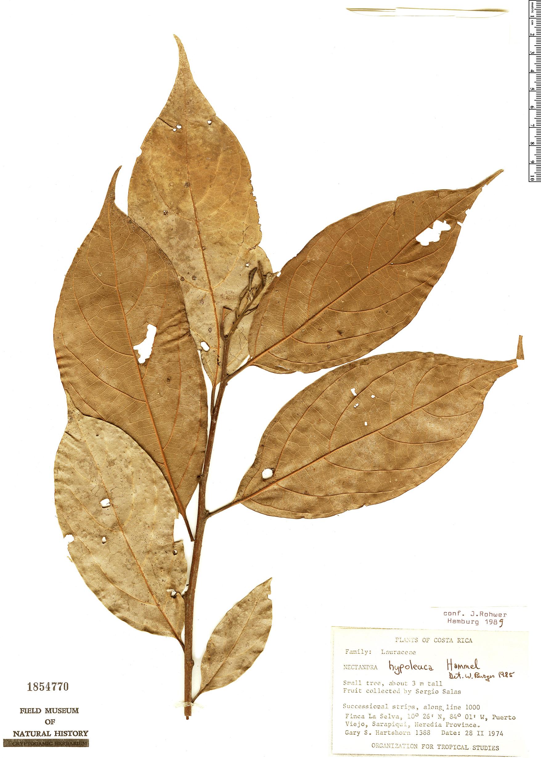 Specimen: Nectandra hypoleuca