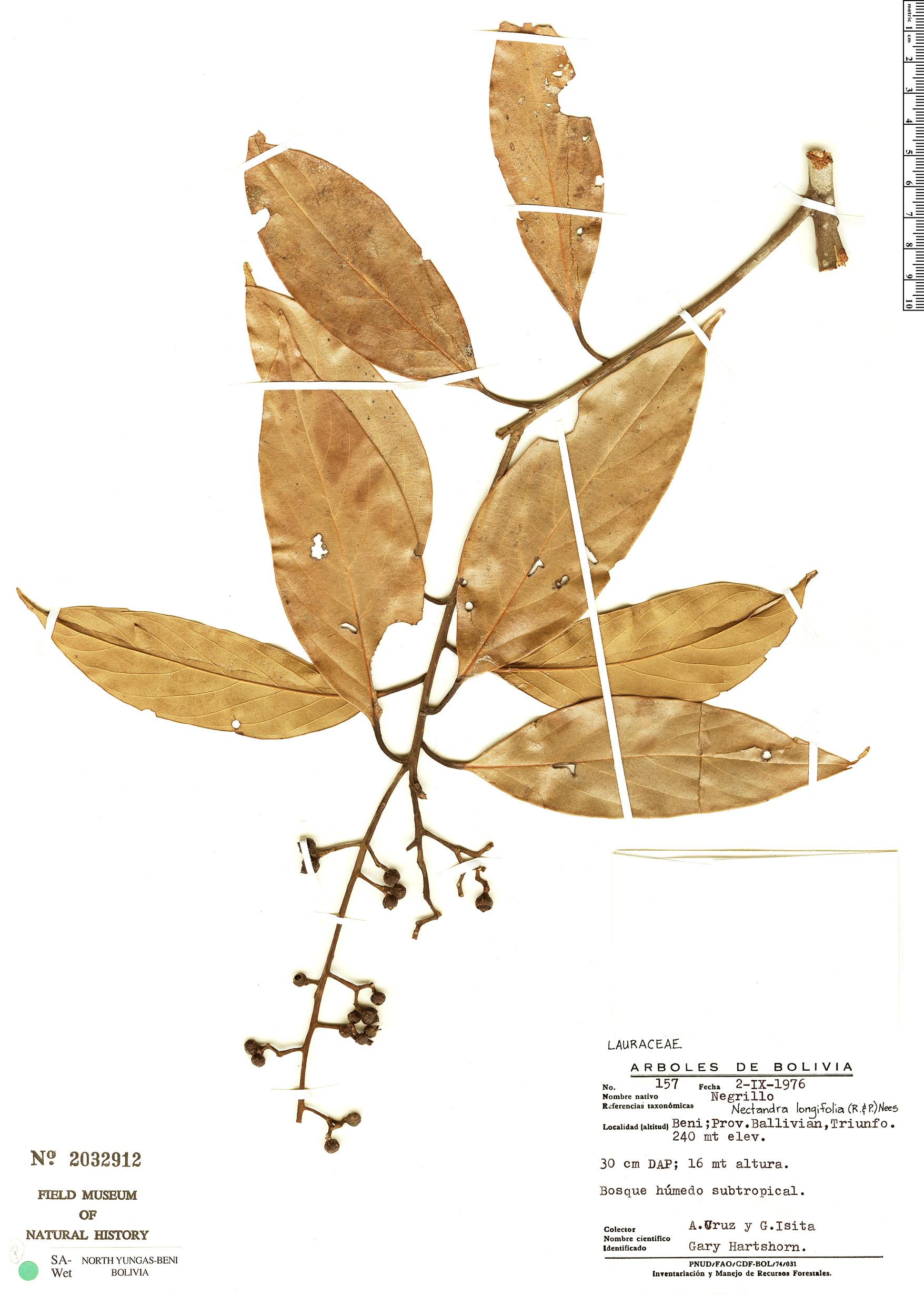 Specimen: Nectandra longifolia