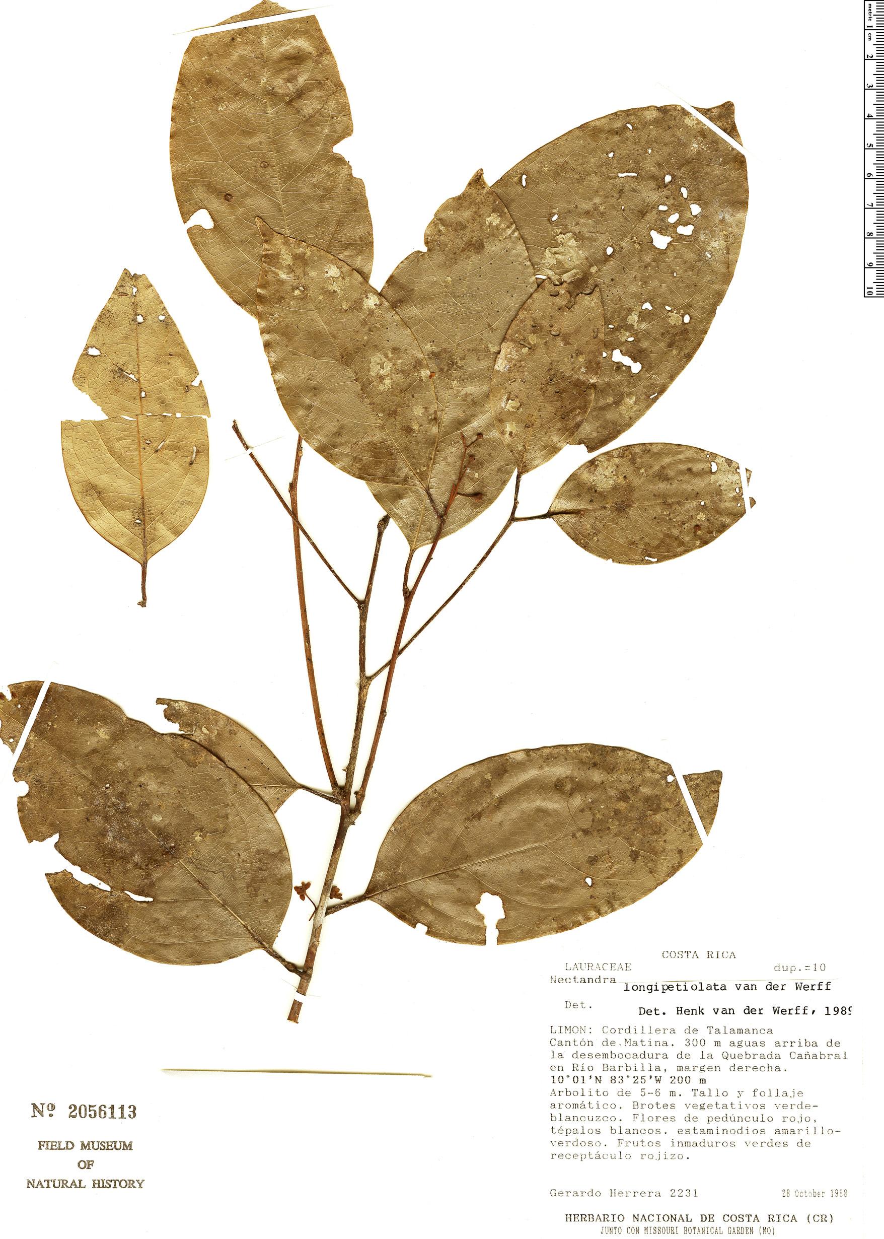 Espécimen: Nectandra longipetiolata