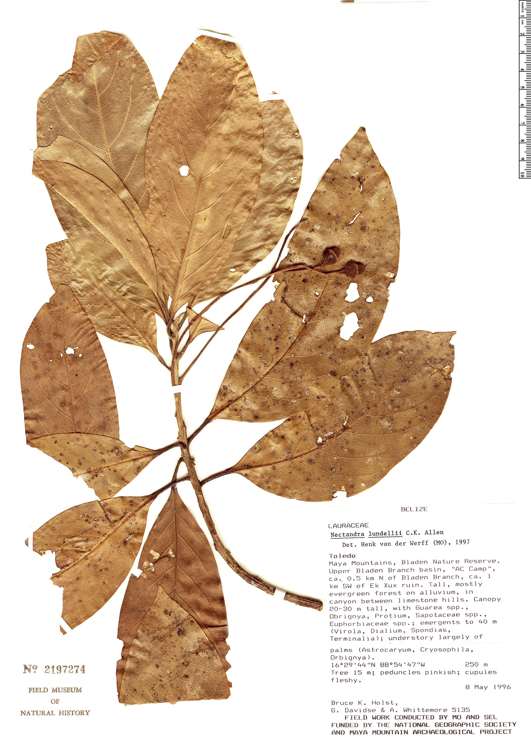 Specimen: Nectandra lundellii