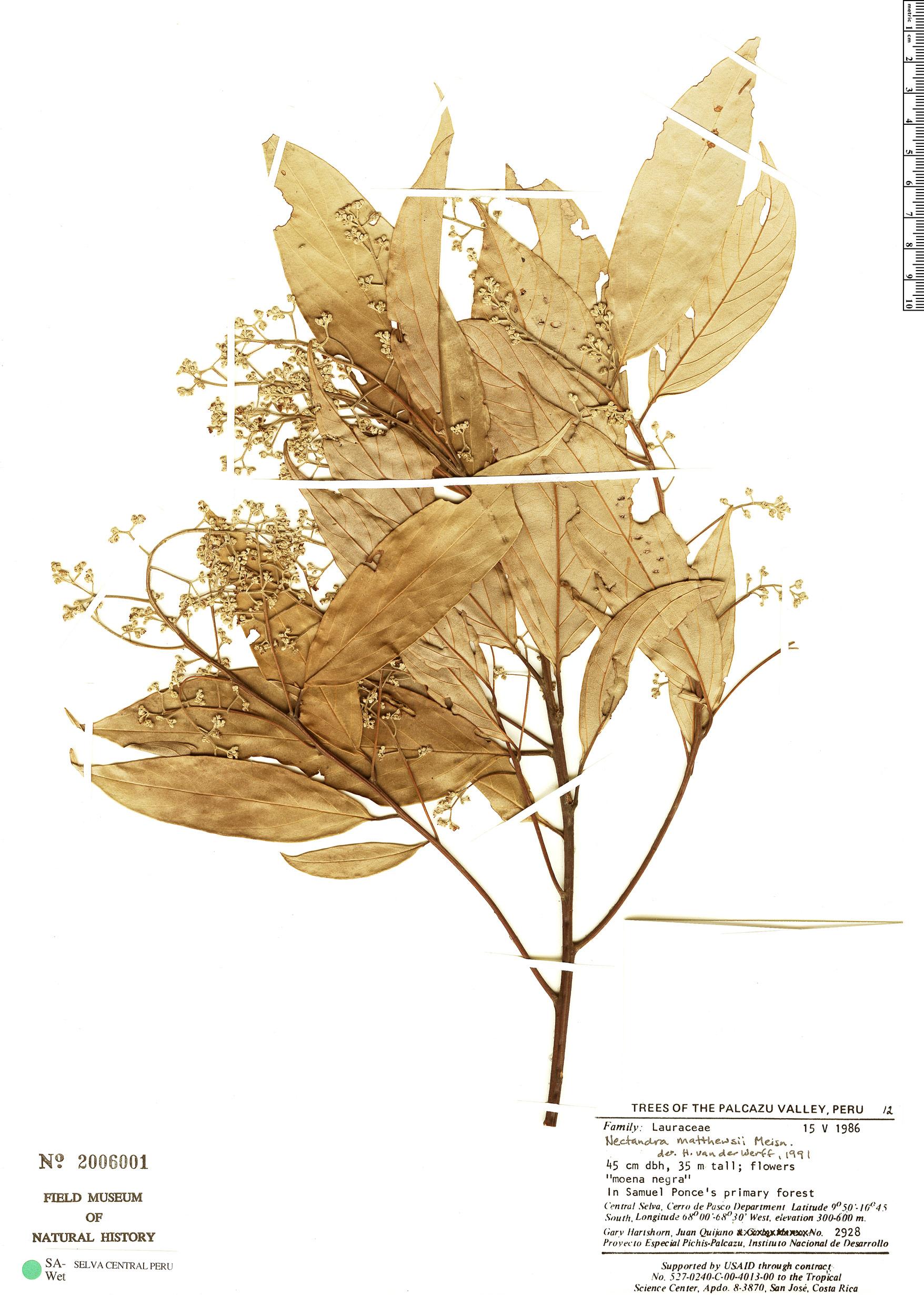 Specimen: Nectandra matthewsii