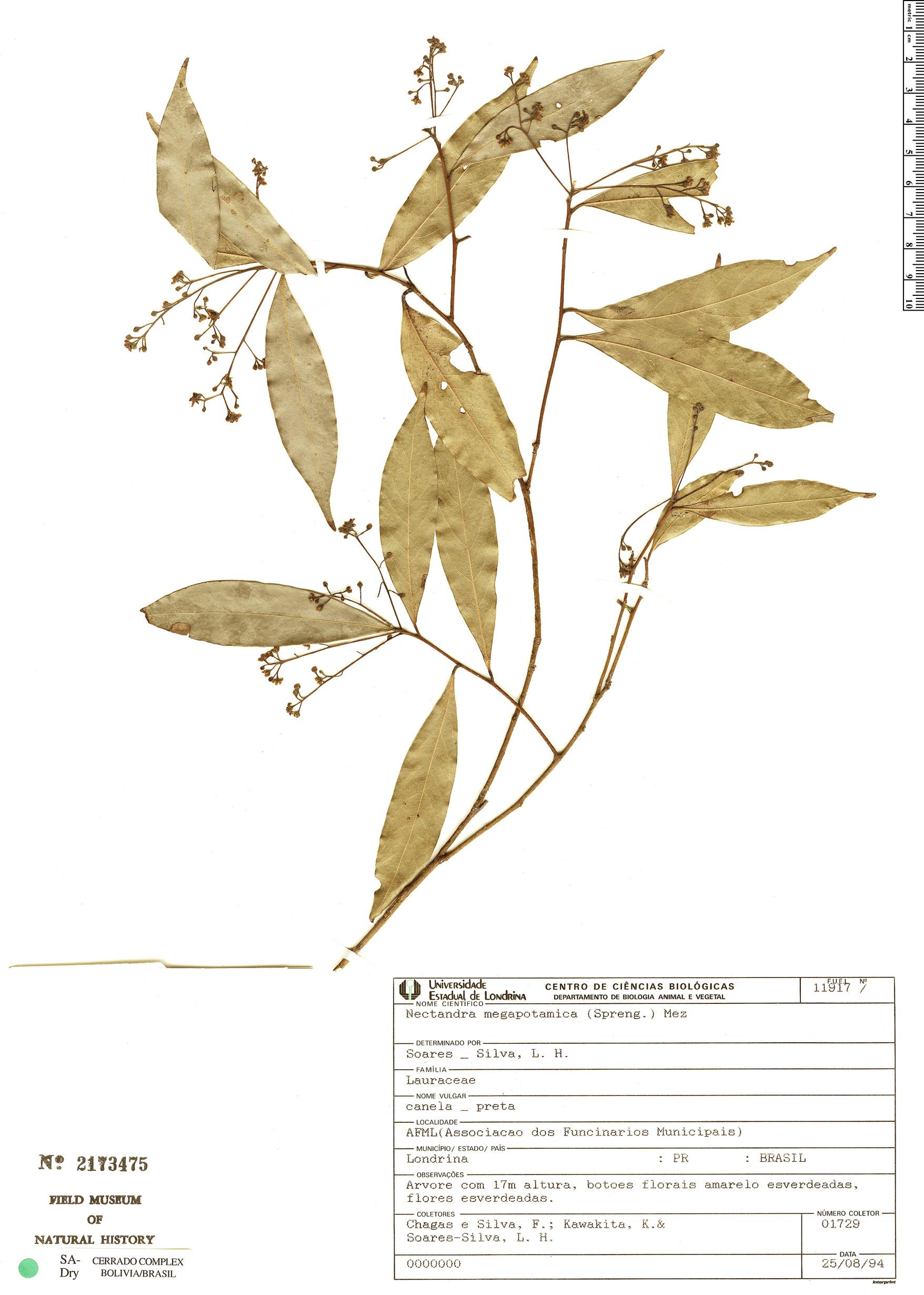 Specimen: Nectandra megapotamica