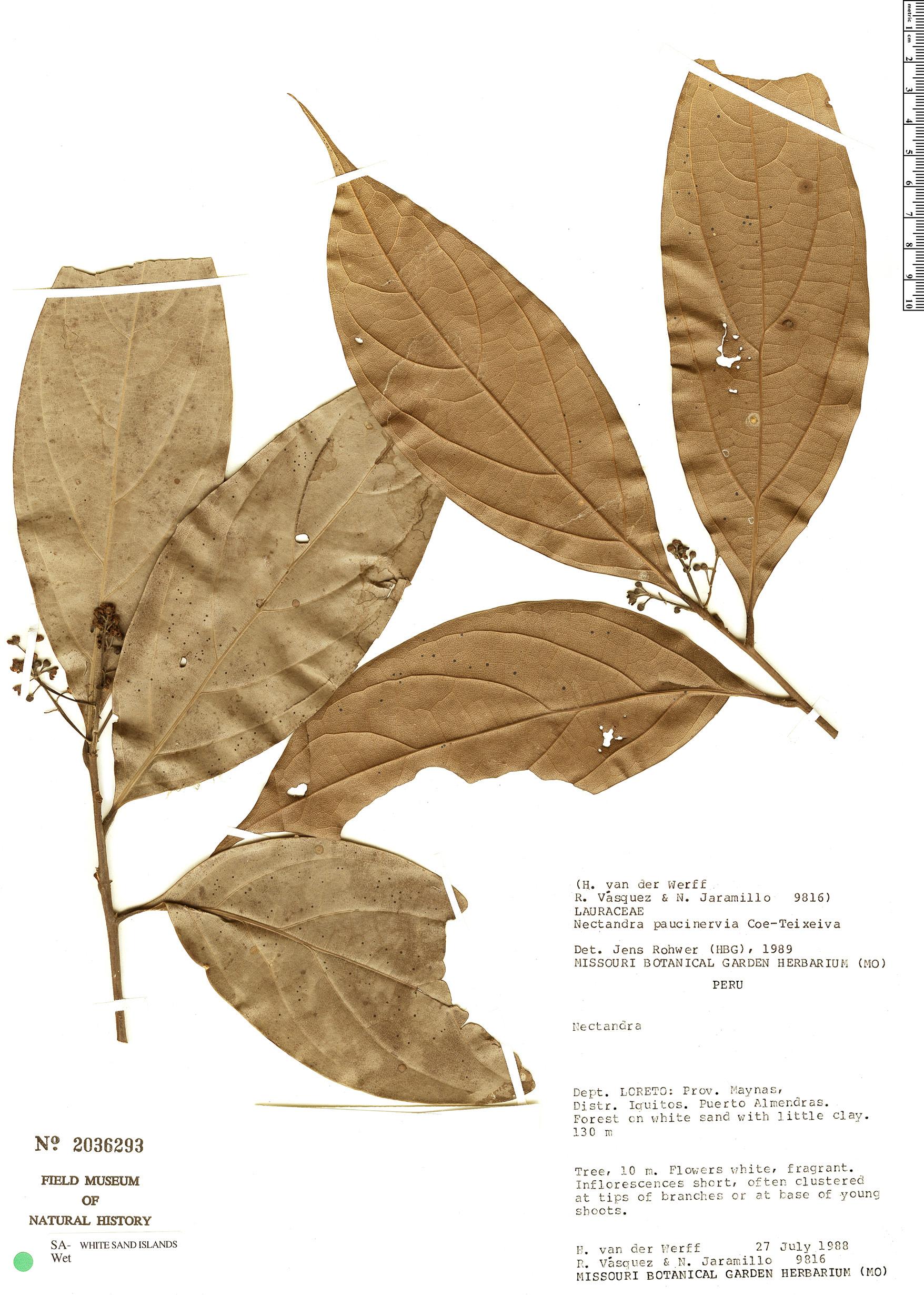 Specimen: Nectandra paucinervia