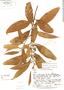 Nectandra pichurim image
