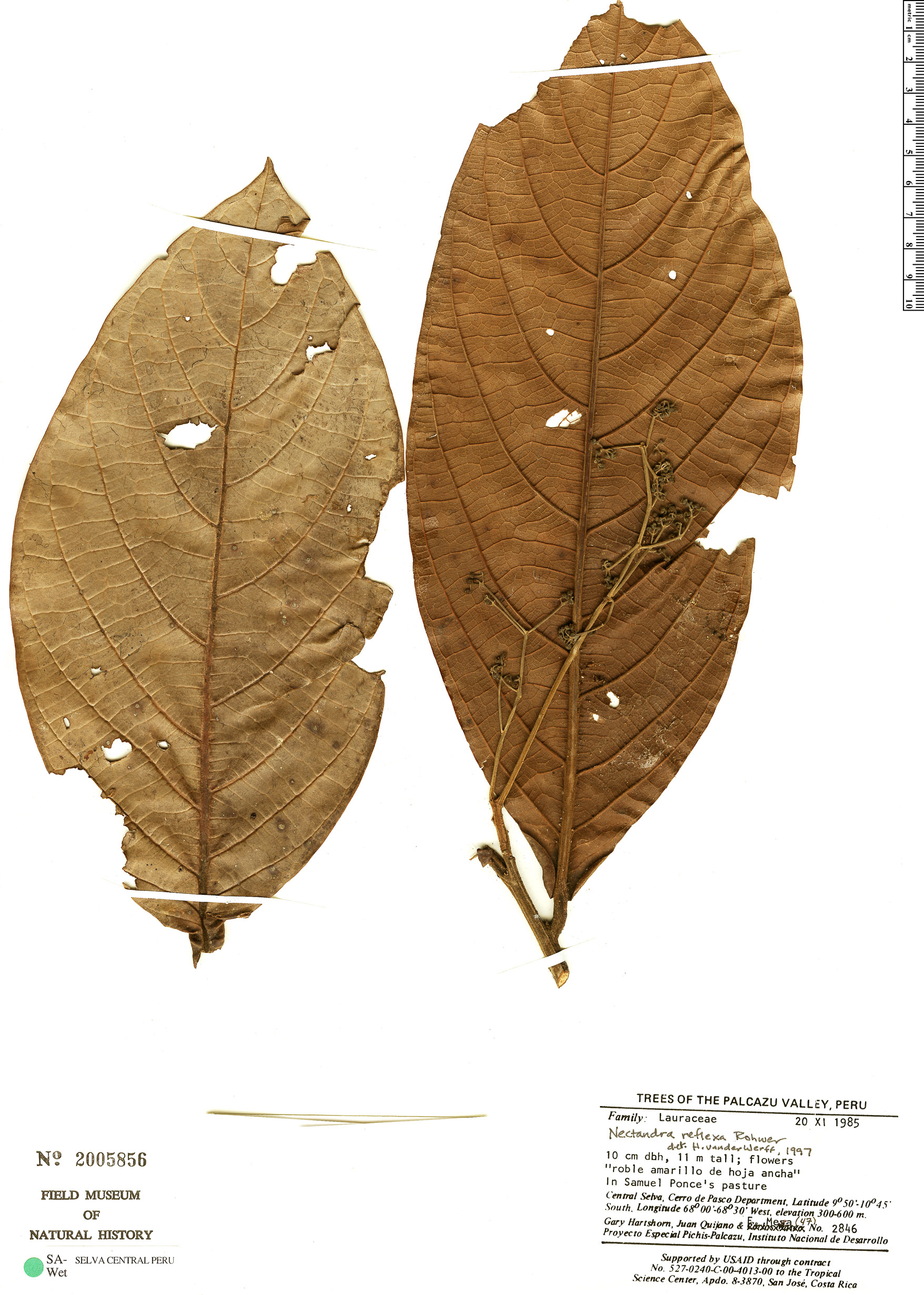 Specimen: Nectandra reflexa