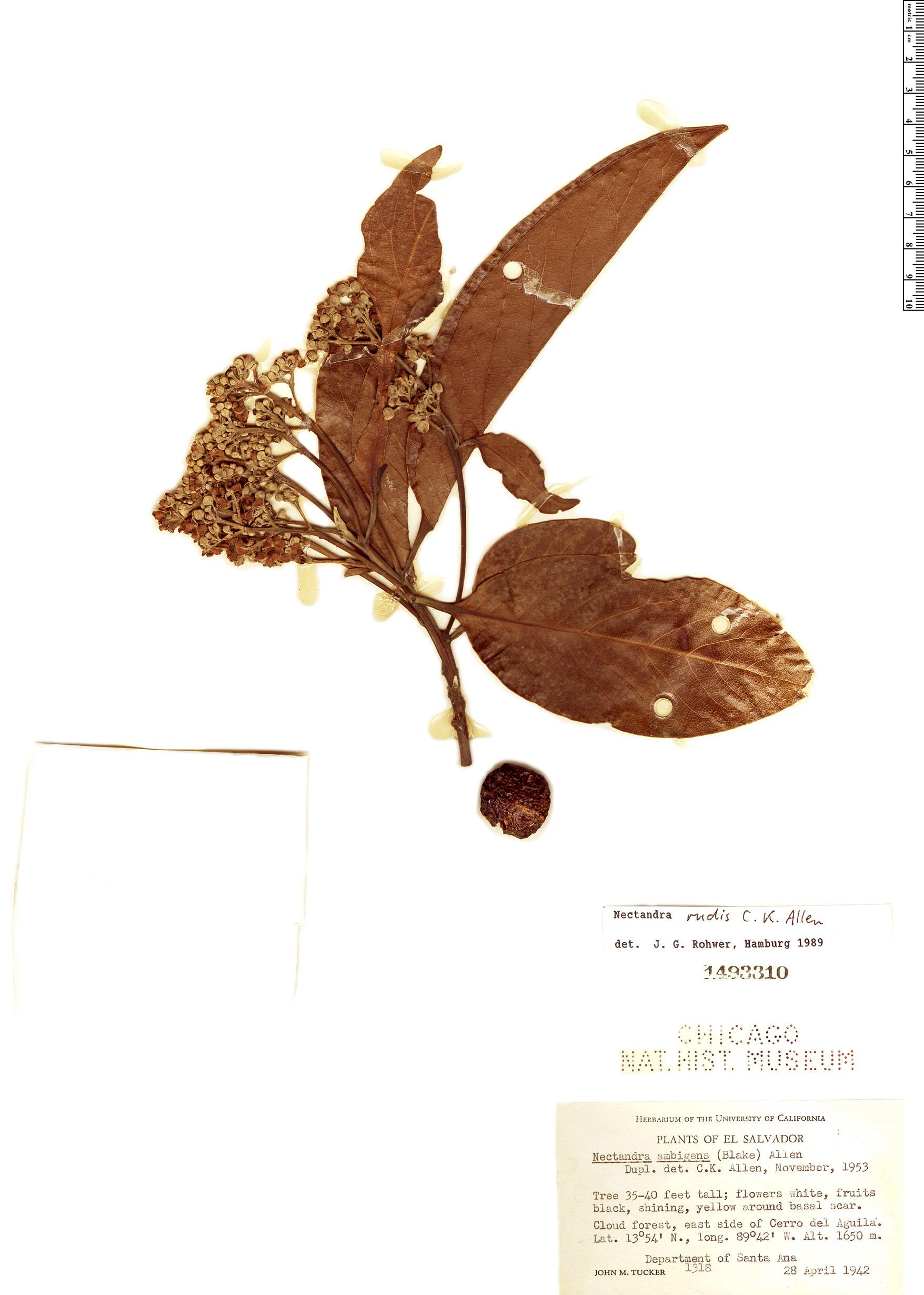 Specimen: Nectandra rudis
