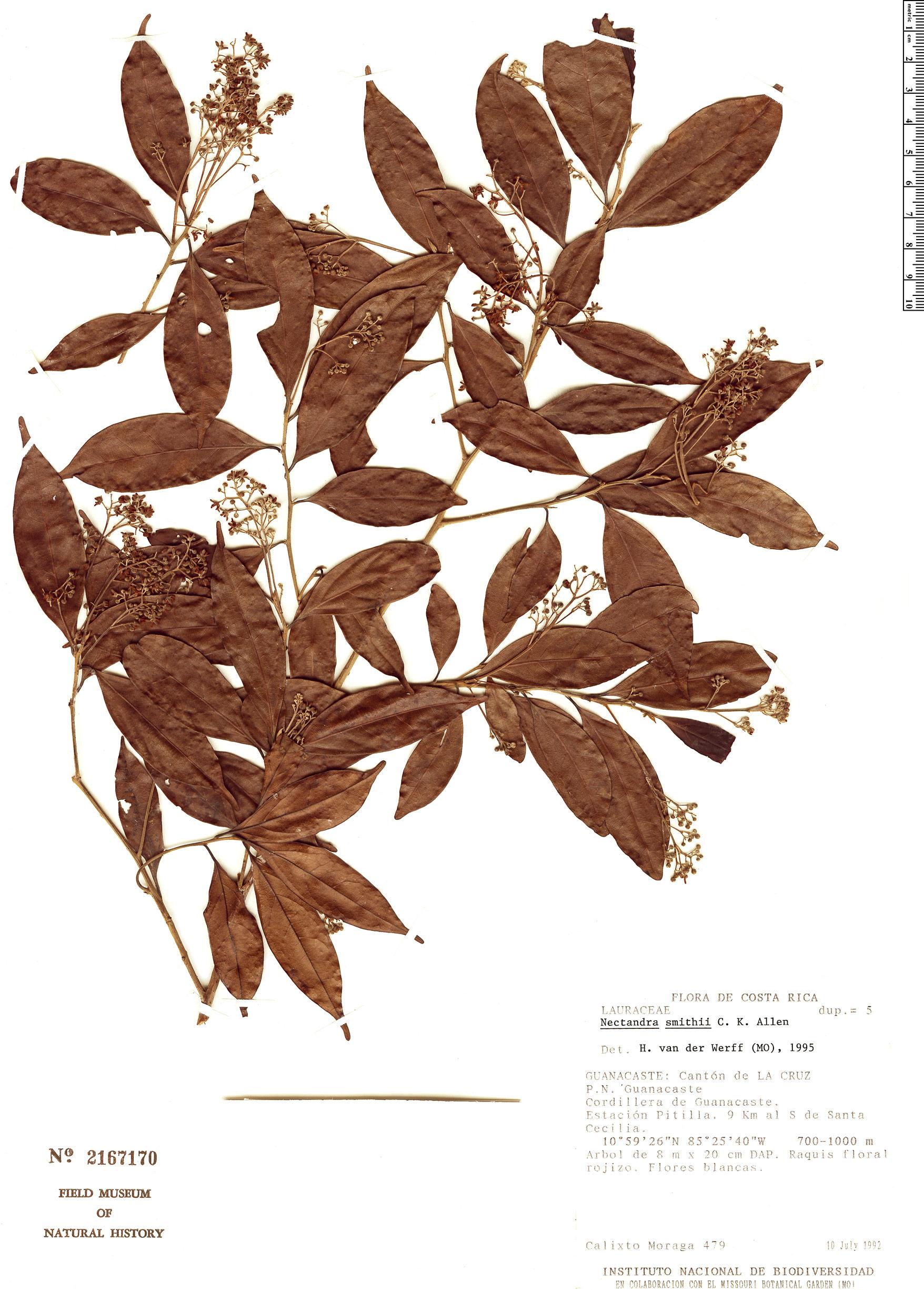 Specimen: Nectandra smithii