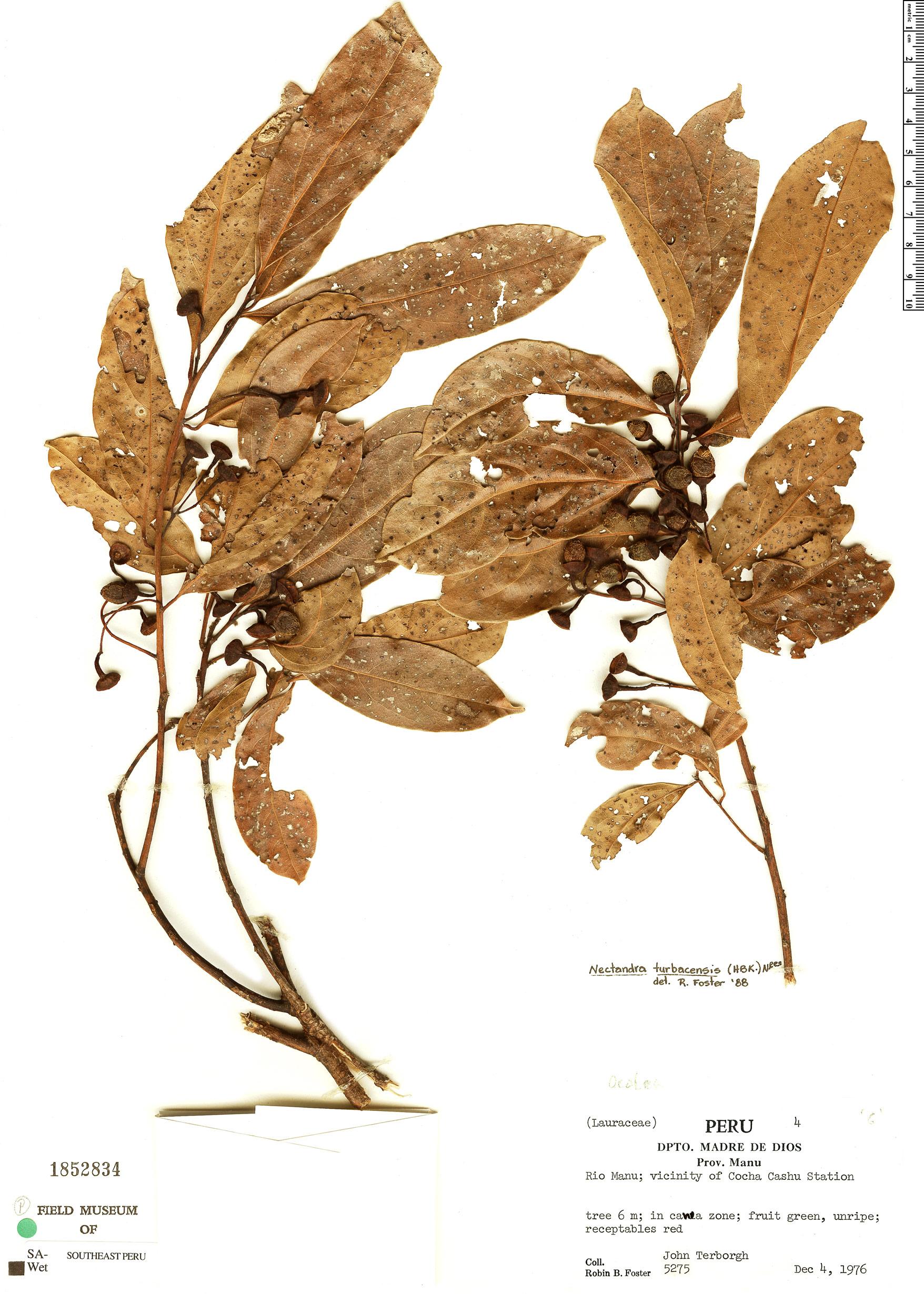 Specimen: Nectandra turbacensis