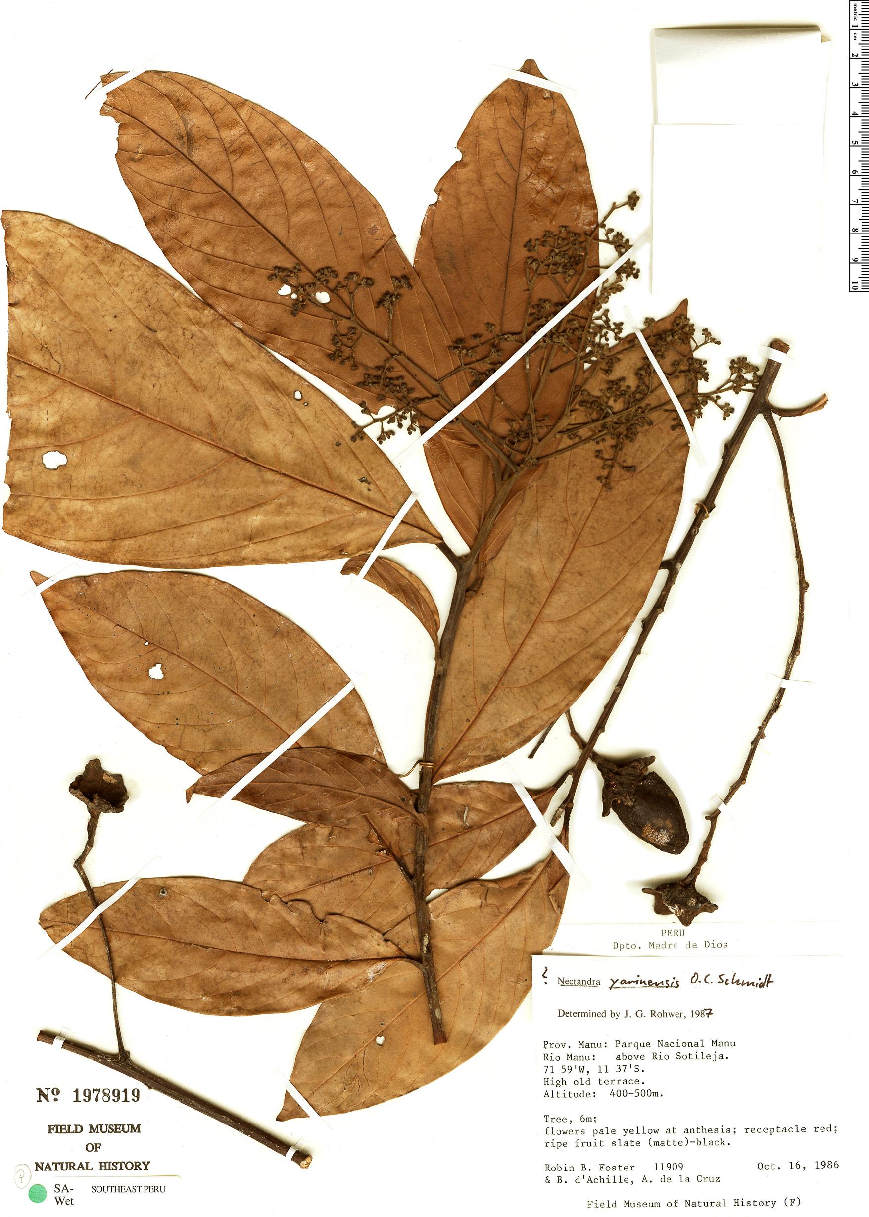 Specimen: Nectandra yarinensis