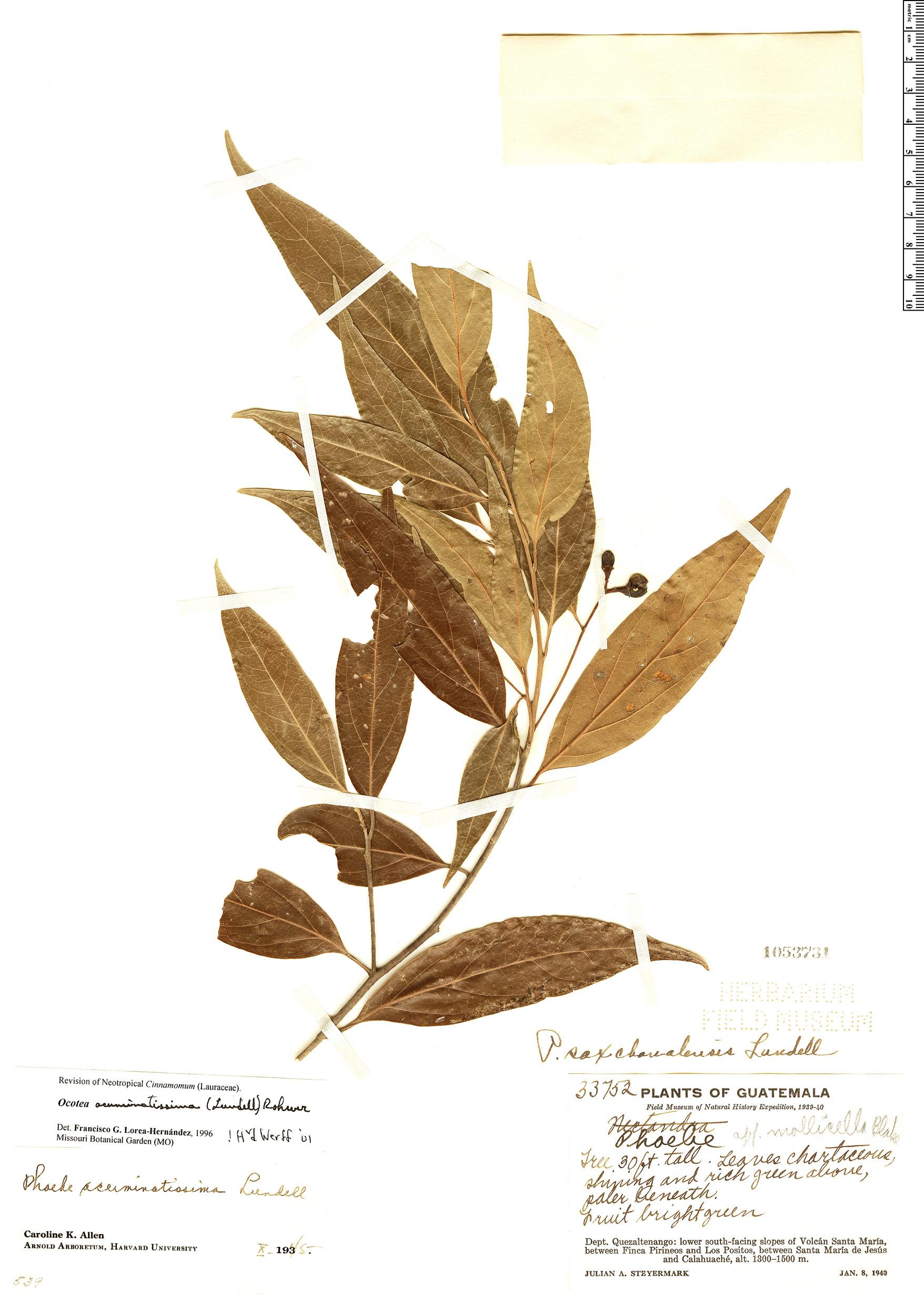 Specimen: Ocotea acuminatissima