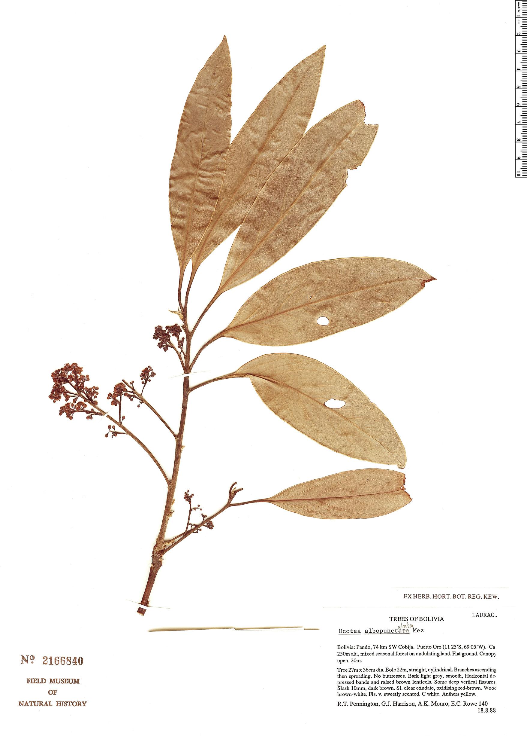 Specimen: Ocotea albopunctulata
