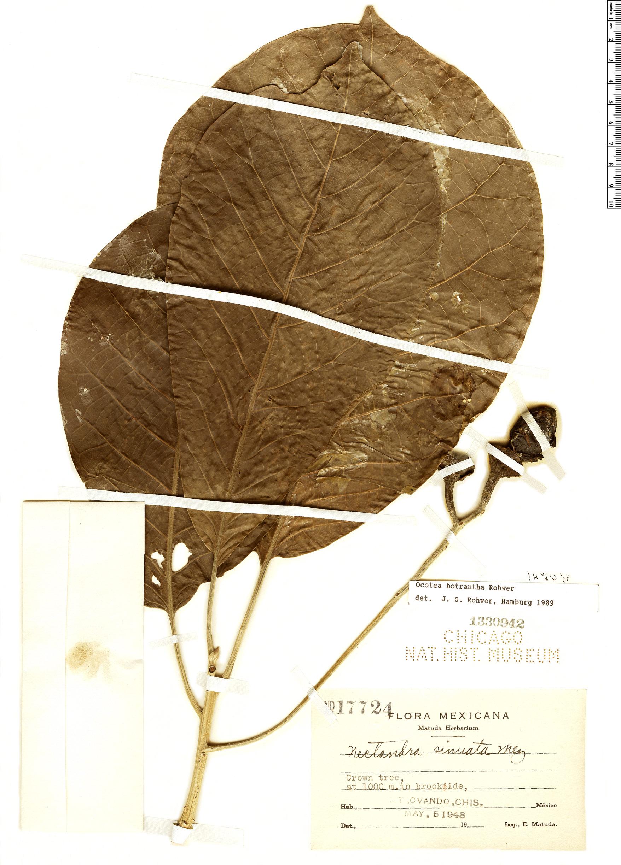Espécime: Ocotea botrantha