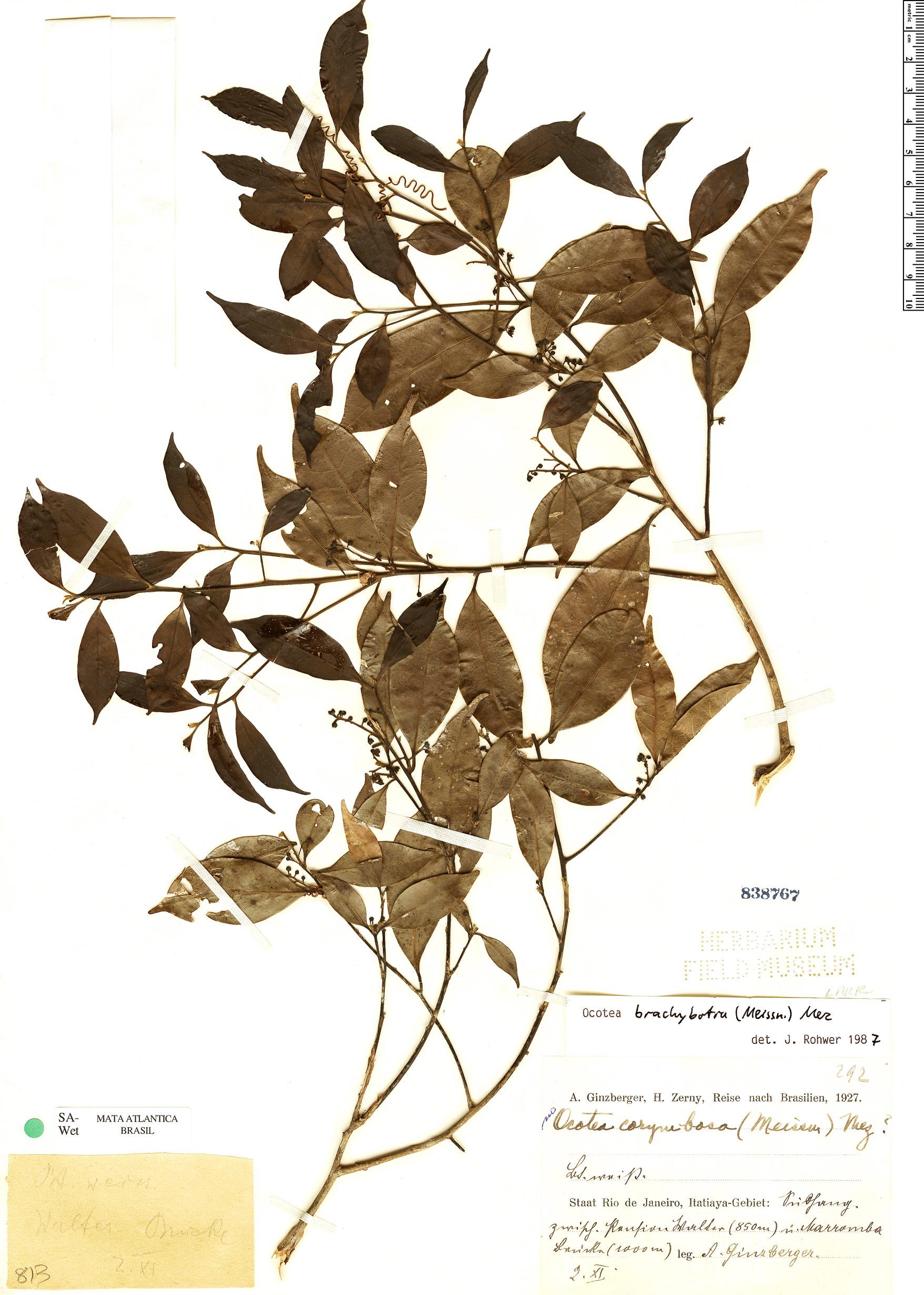 Specimen: Ocotea brachybotrya