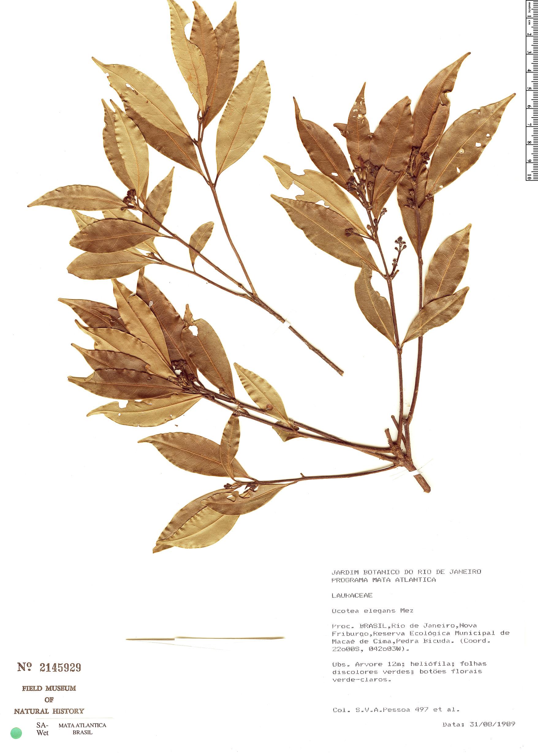 Specimen: Ocotea elegans