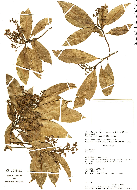 Specimen: Ocotea floribunda