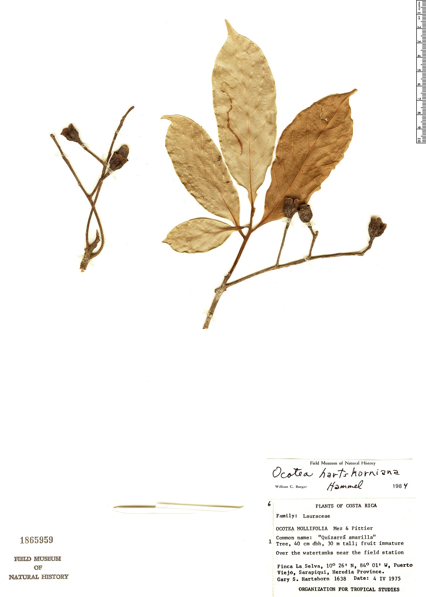 Specimen: Ocotea hartshorniana