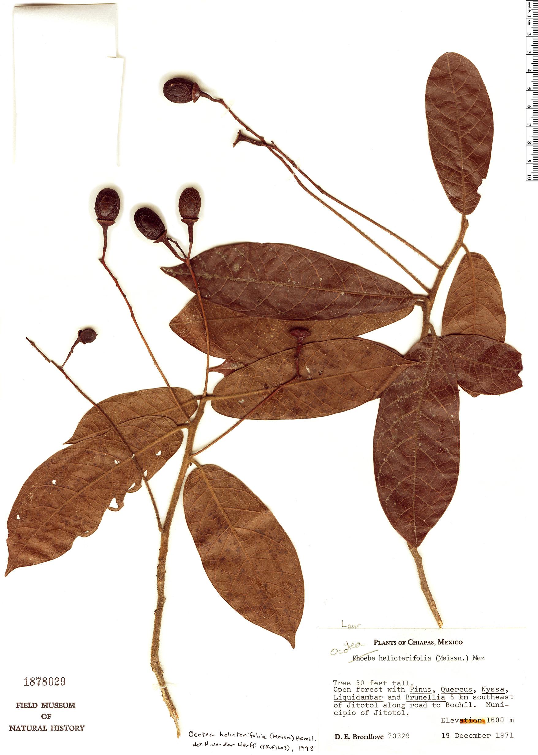 Specimen: Ocotea helicterifolia