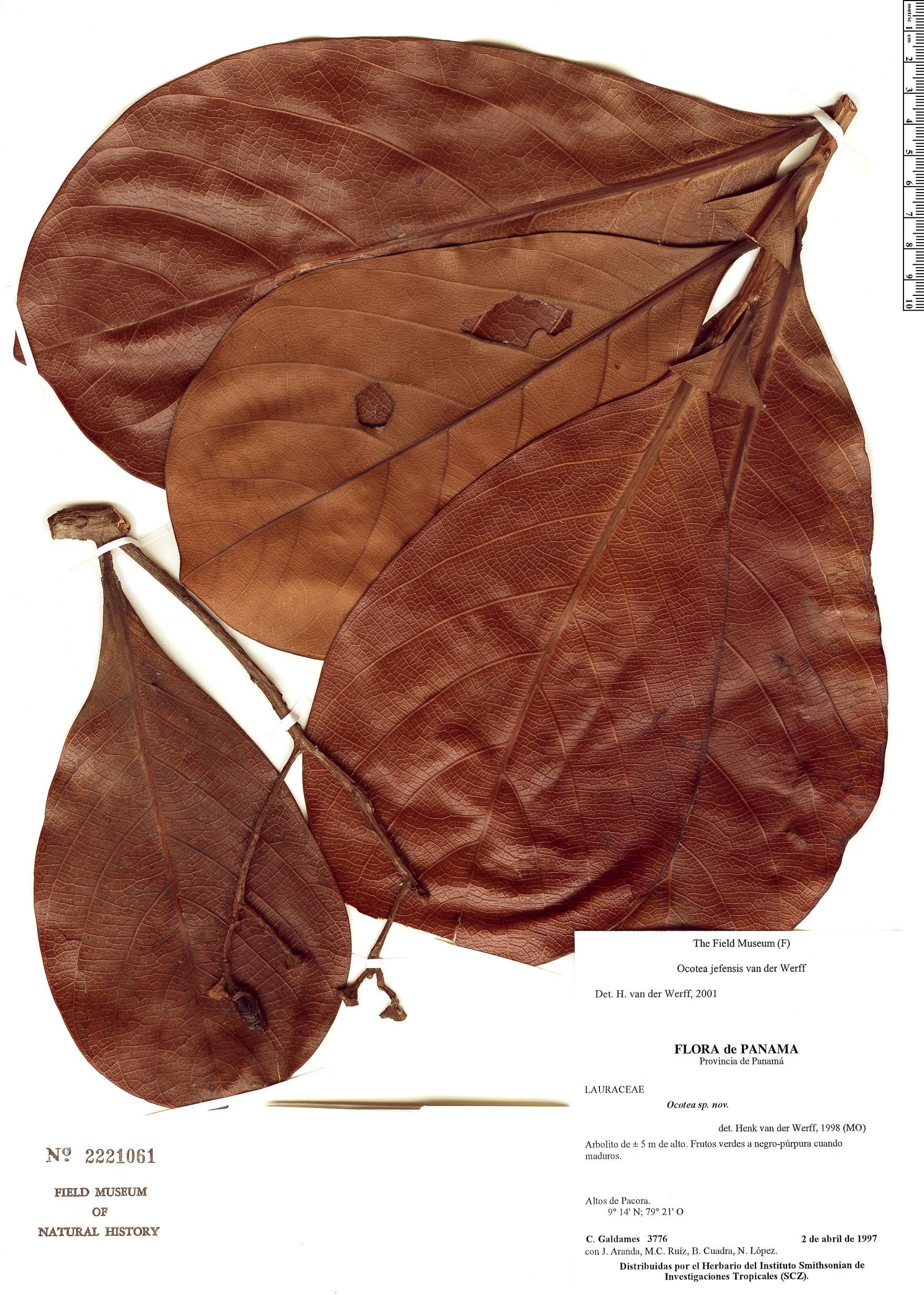 Specimen: Ocotea jefensis