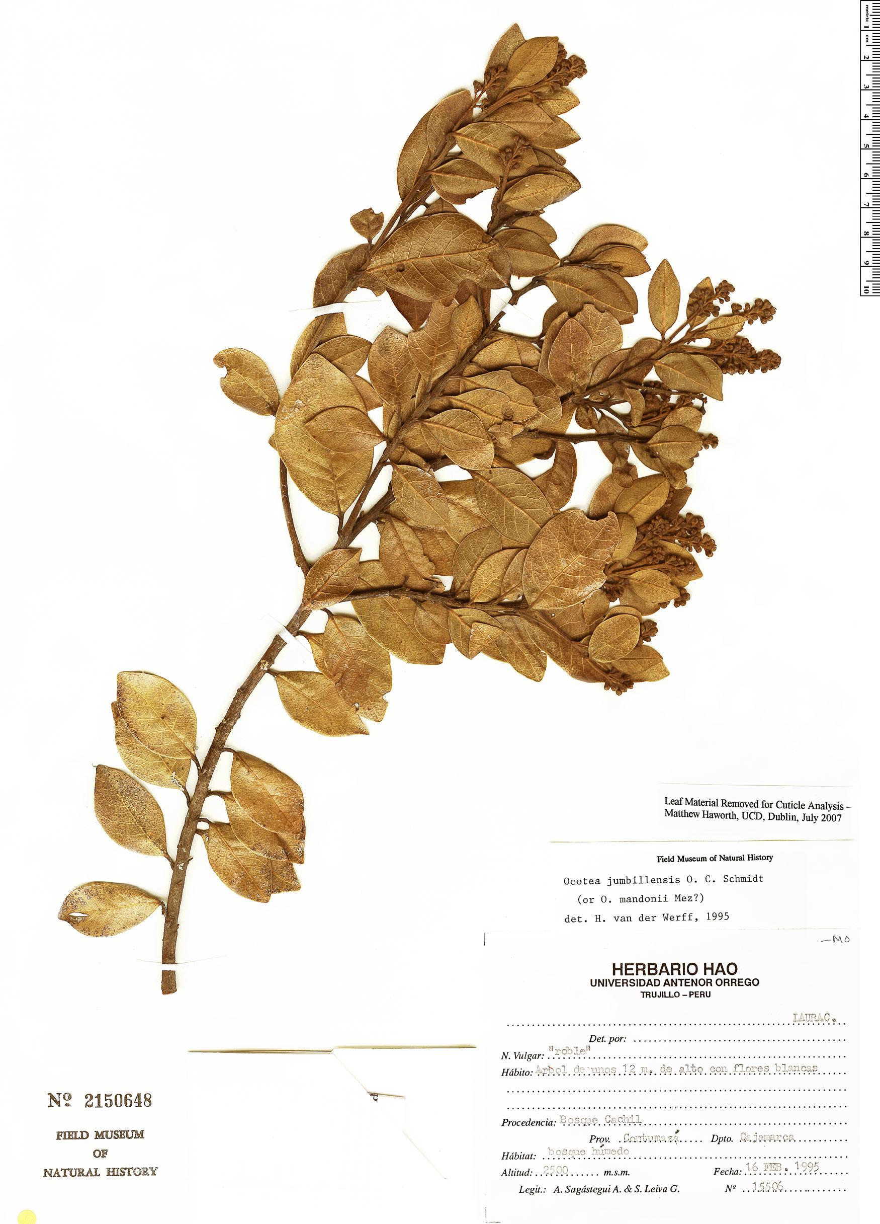 Specimen: Ocotea jumbillensis