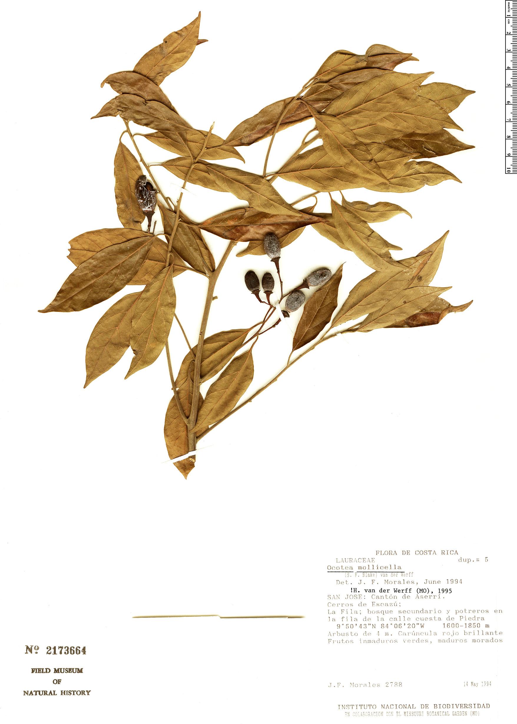 Espécime: Ocotea mollicella