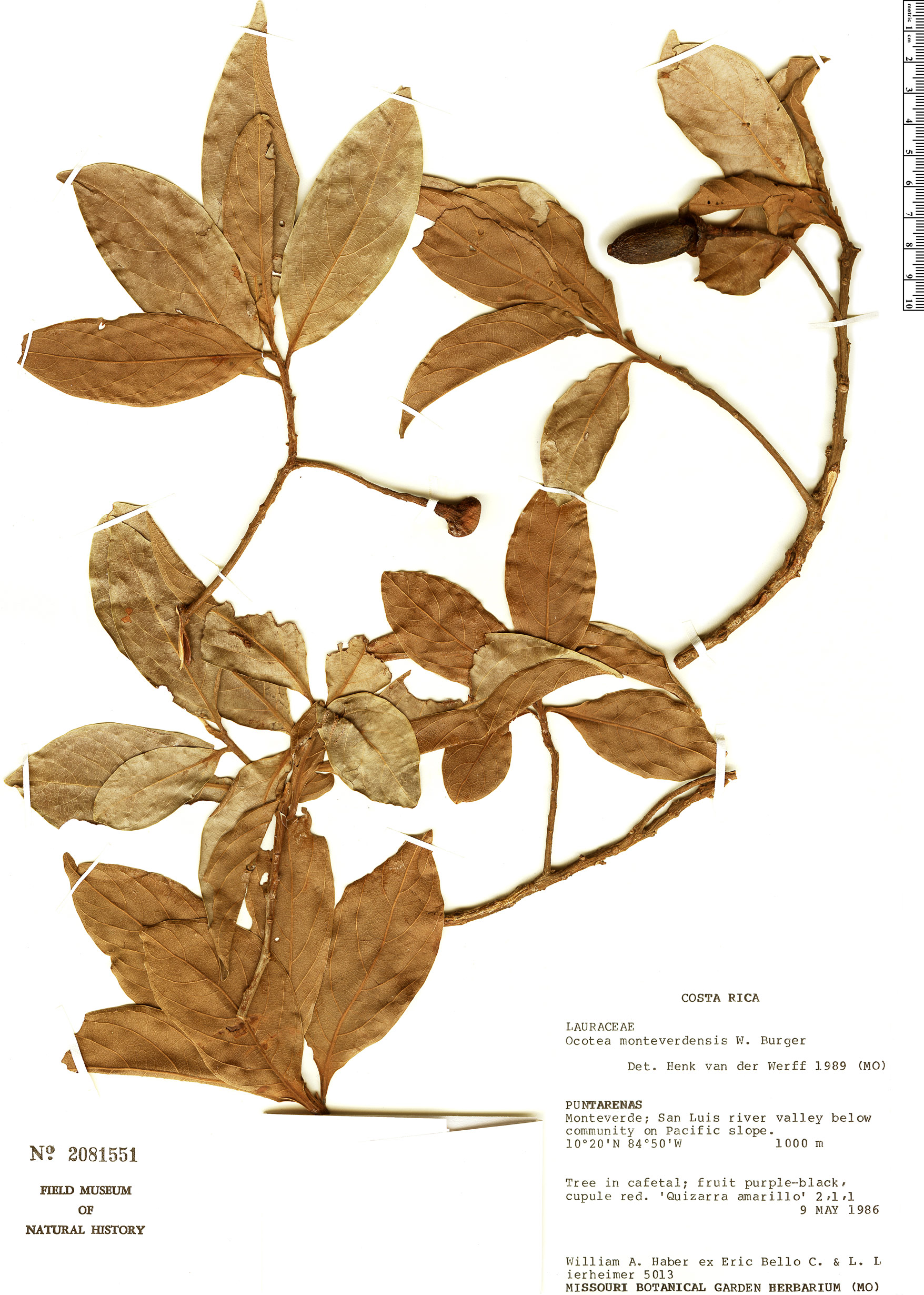 Specimen: Ocotea monteverdensis