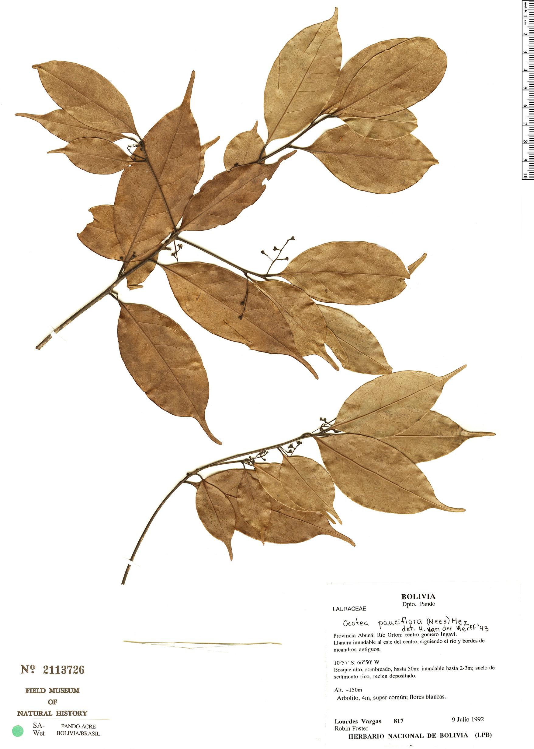 Specimen: Ocotea pauciflora