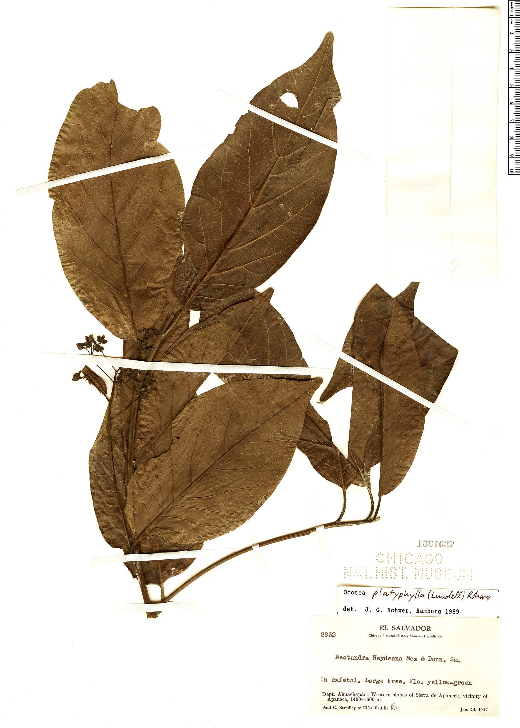 Espécime: Ocotea platyphylla