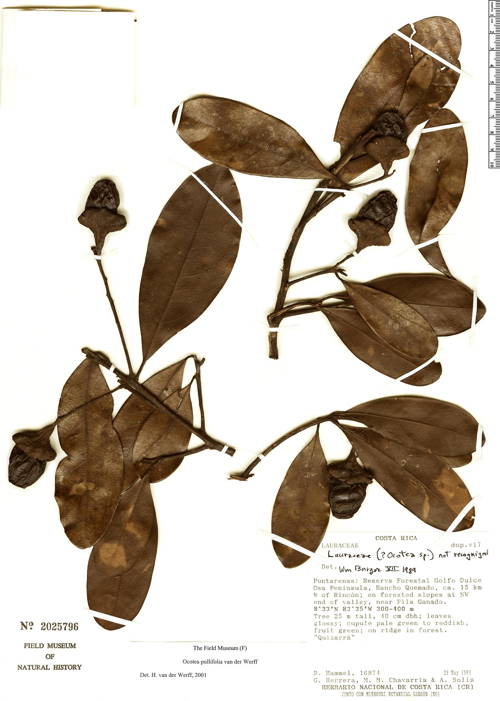 Specimen: Ocotea pullifolia