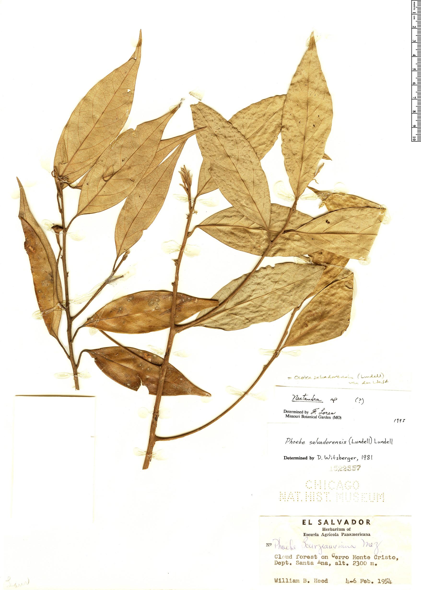 Specimen: Ocotea salvadorensis