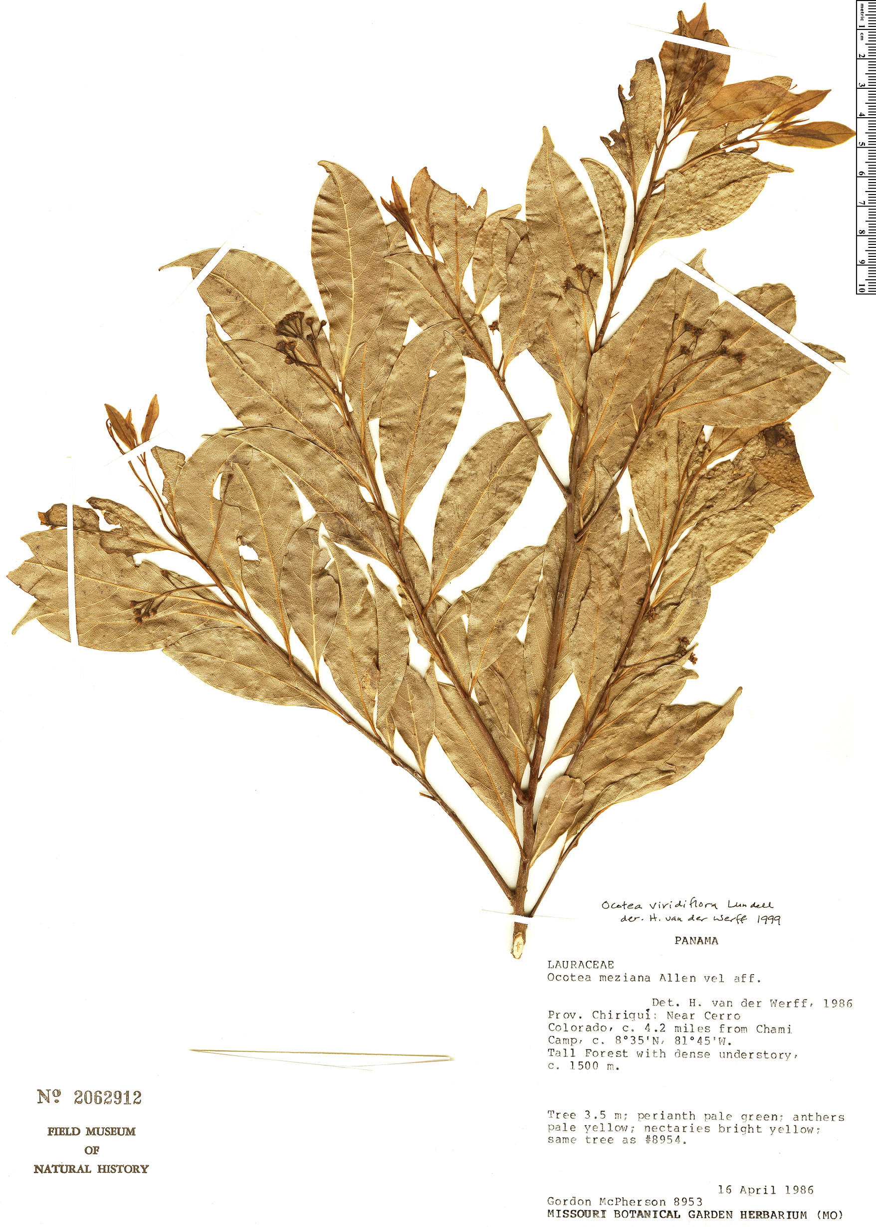Specimen: Ocotea viridiflora
