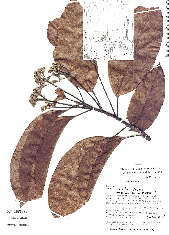 Specimen: Persea albida