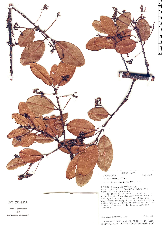 Specimen: Persea cuneata