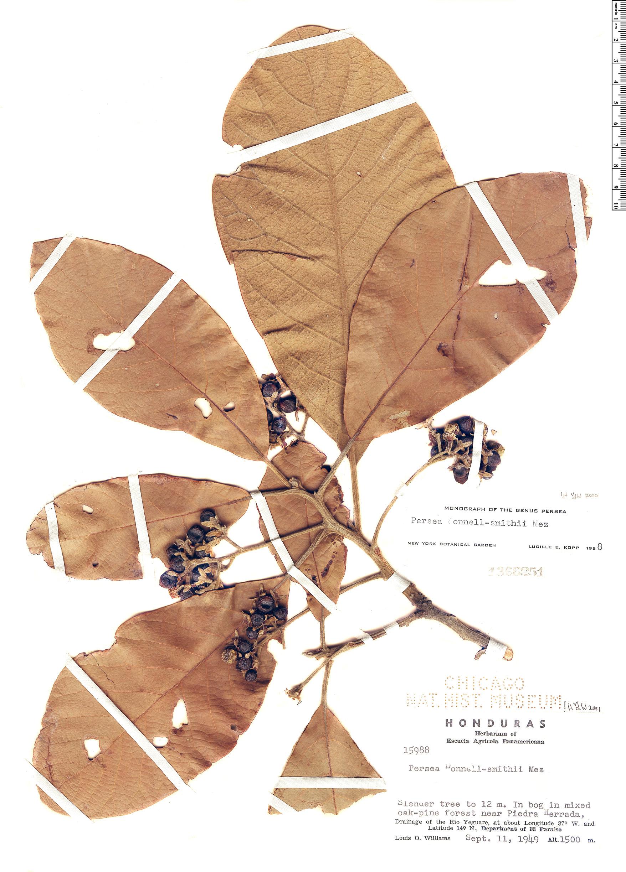 Specimen: Persea donnell-smithii